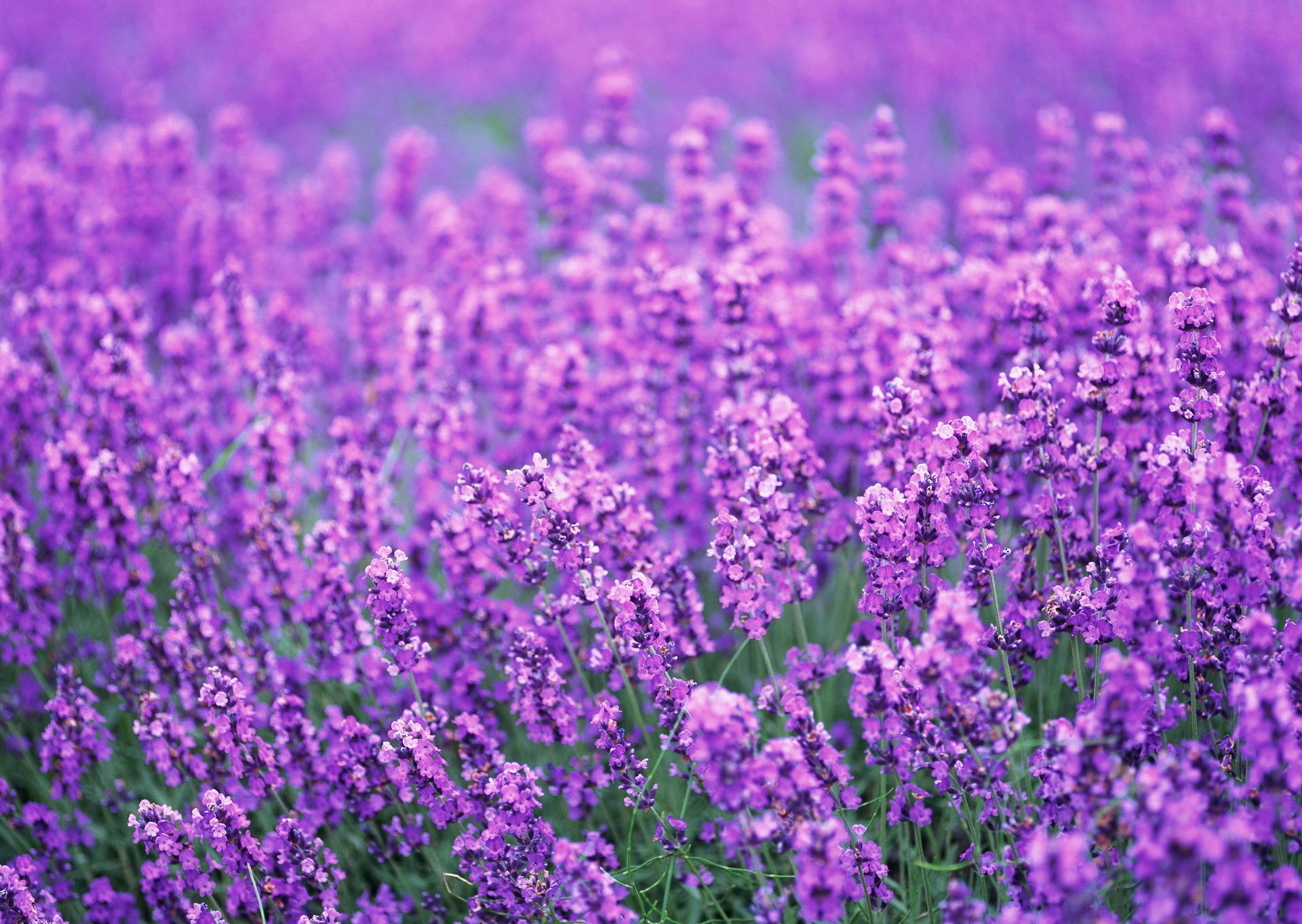 Цветы природа лаванда  № 1352169  скачать
