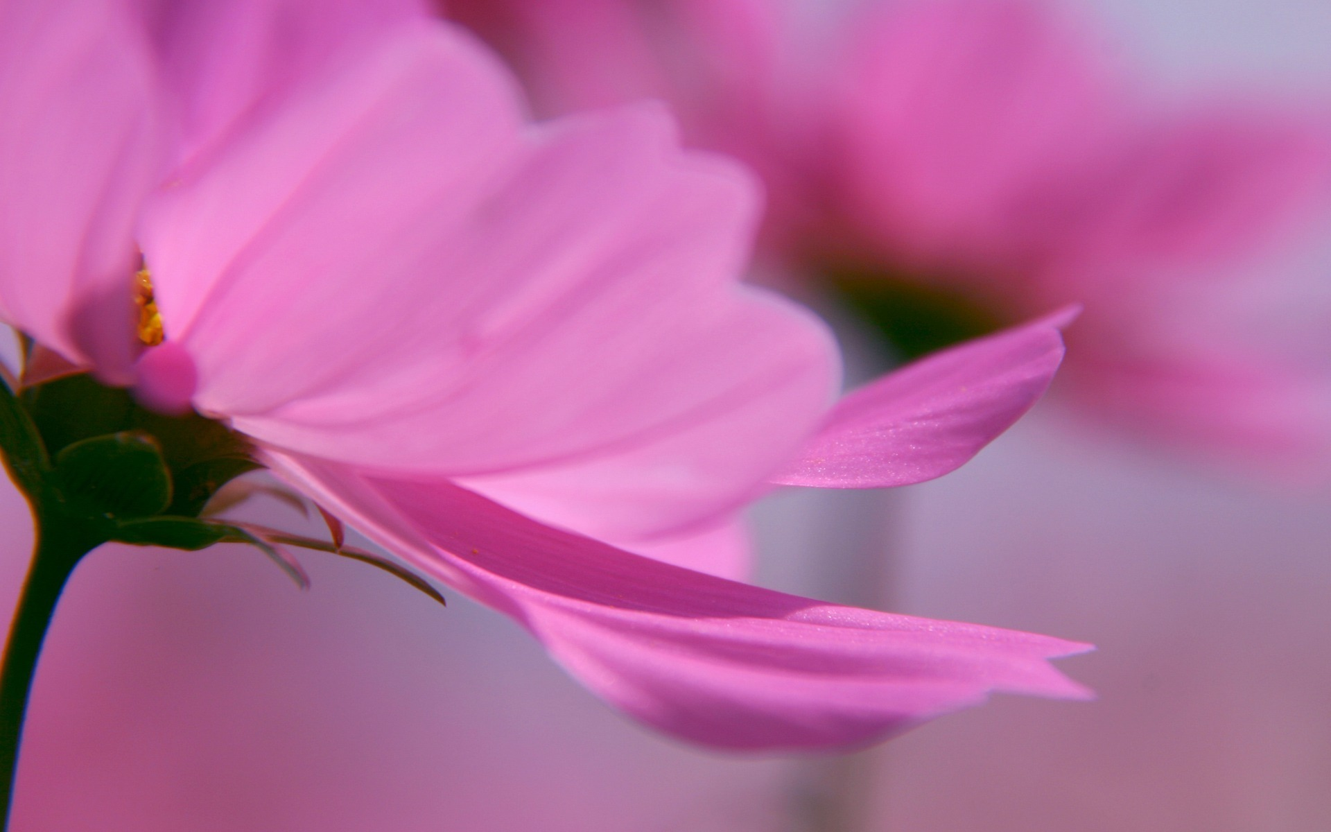 цветы макро розовые  № 1347157 без смс