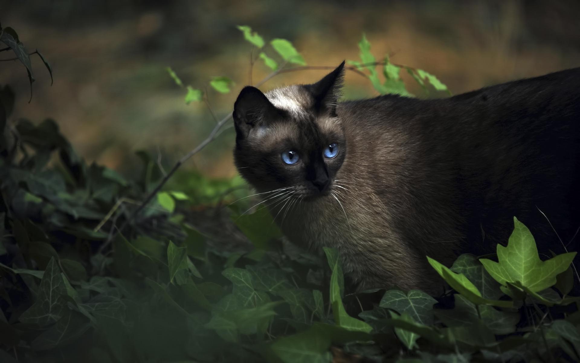 Сеамский кот  № 171521  скачать