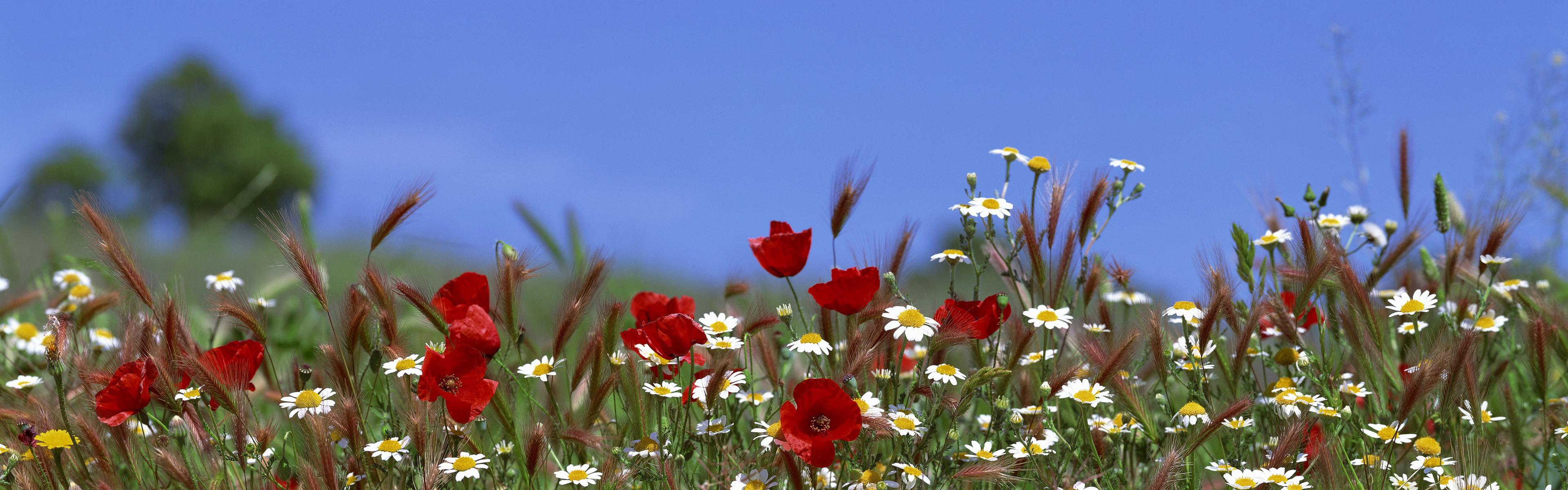 красные цветы трава ромашки природа  № 3836360 без смс