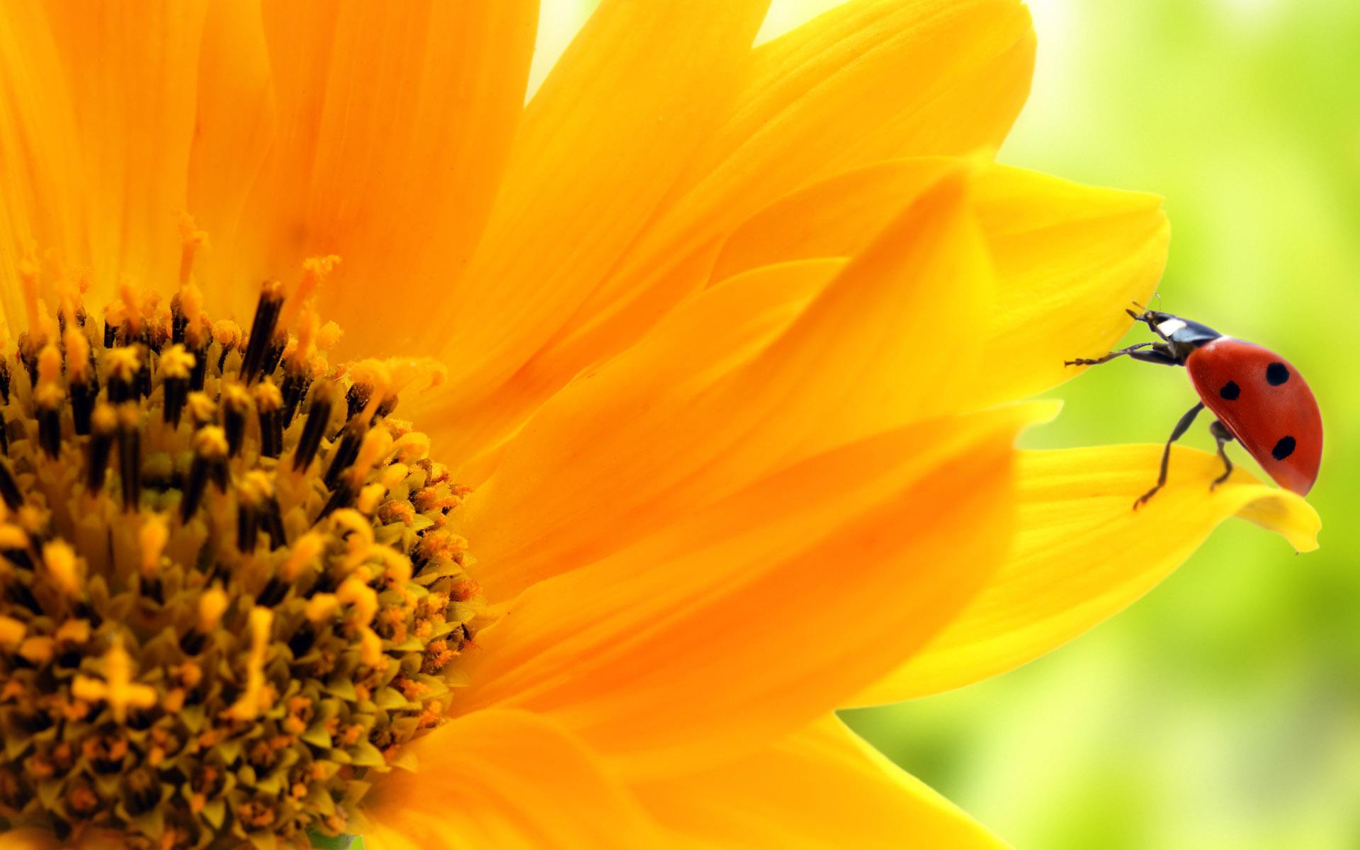 природа макро цветы божья коровка  № 2891789 загрузить