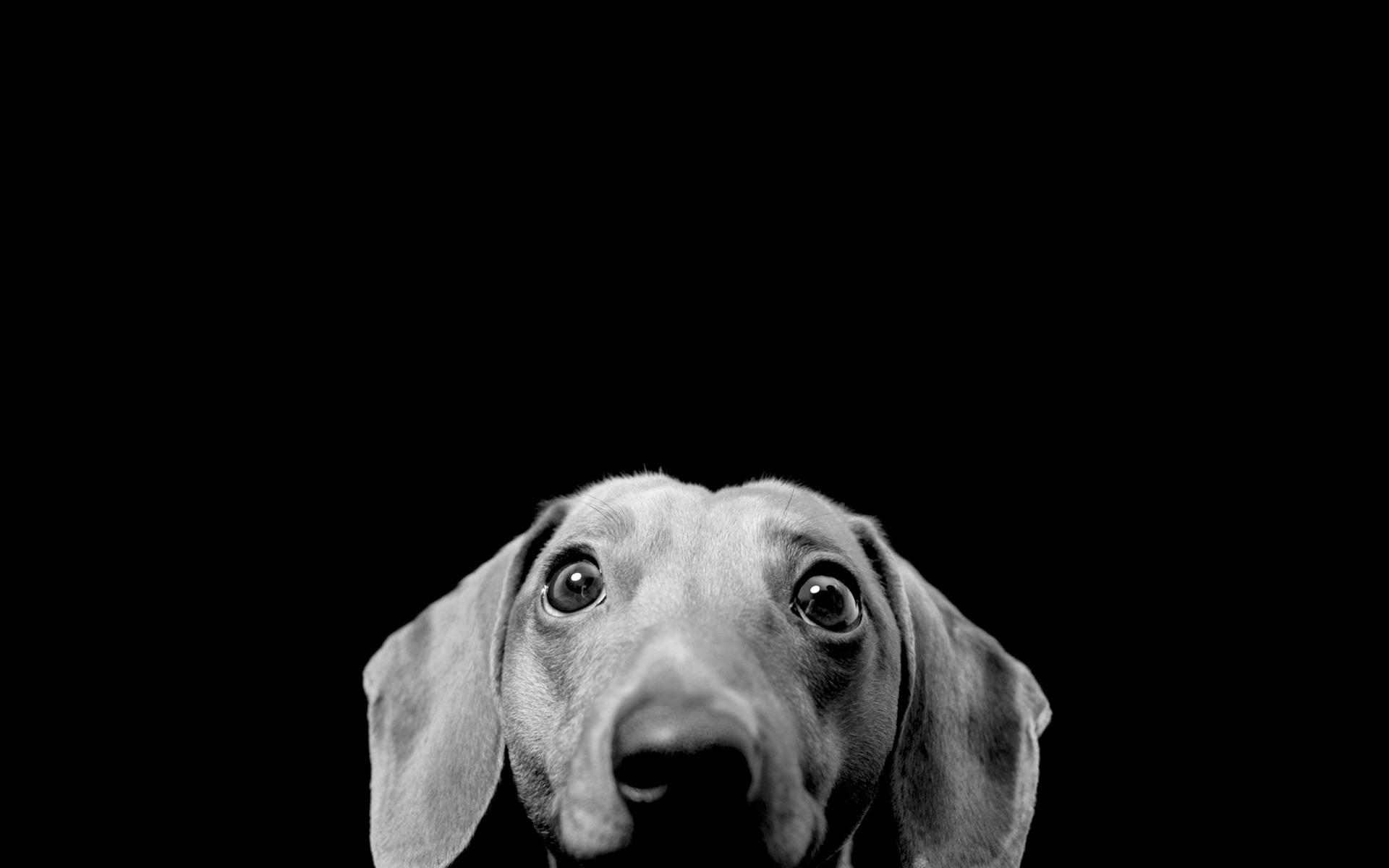Пёс черный взгляд  № 1127422  скачать