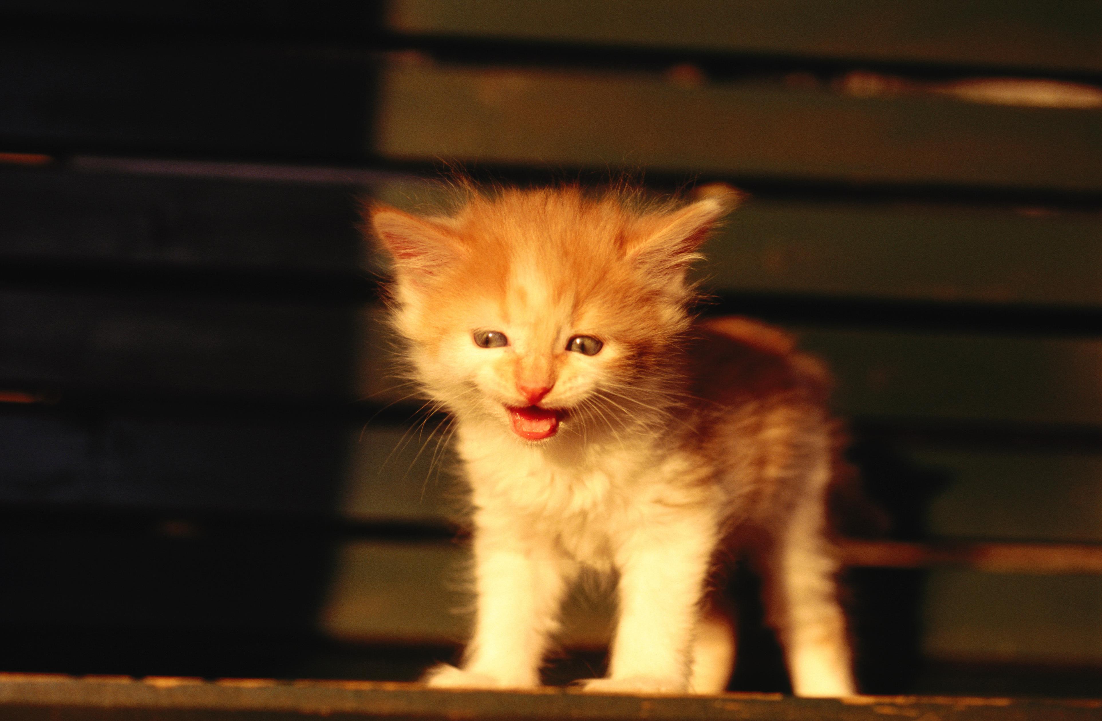 Рыжий котенок  № 1144365 без смс