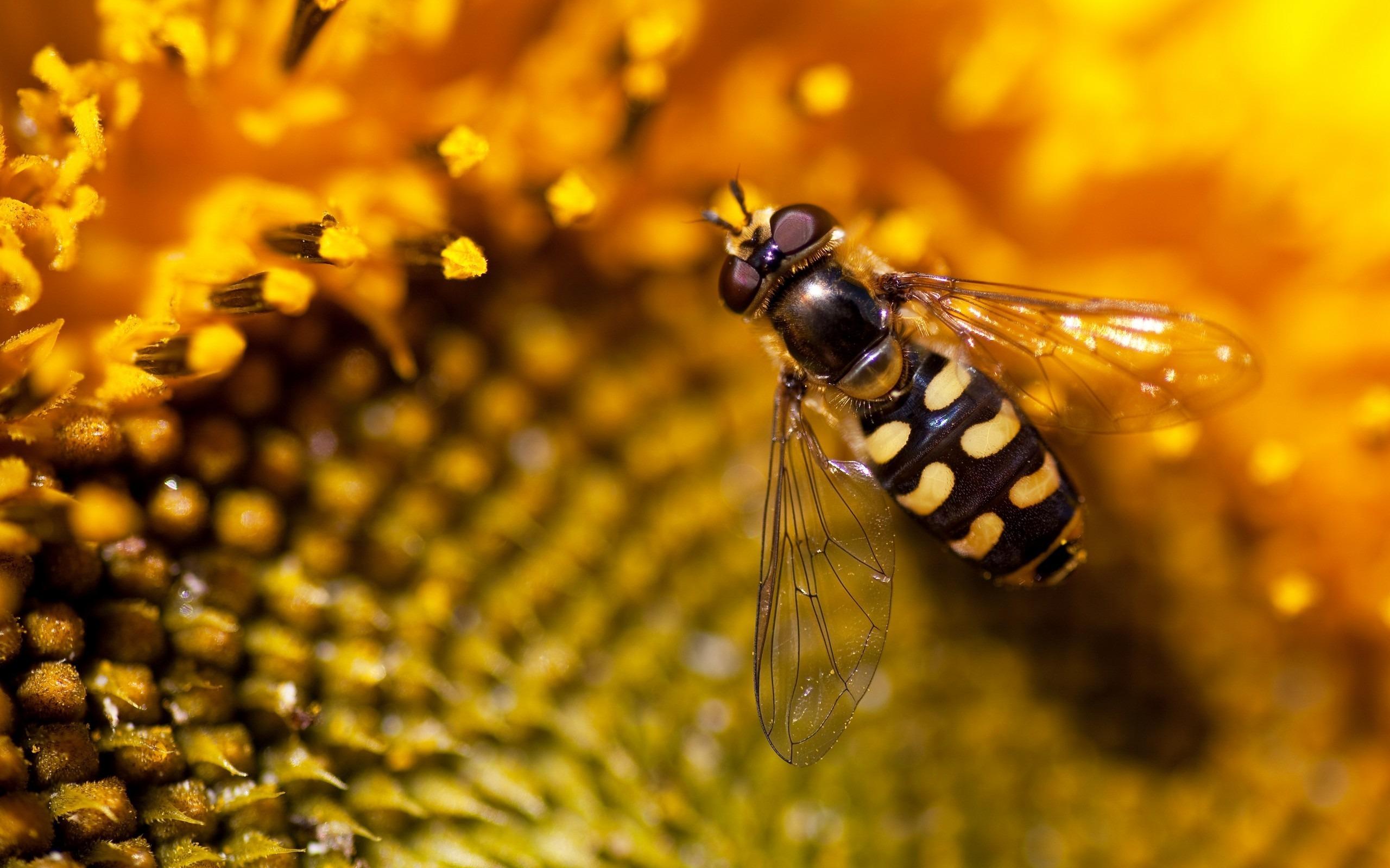 макро одуванчик животное насекомое пчела цветы природа  № 3007343  скачать