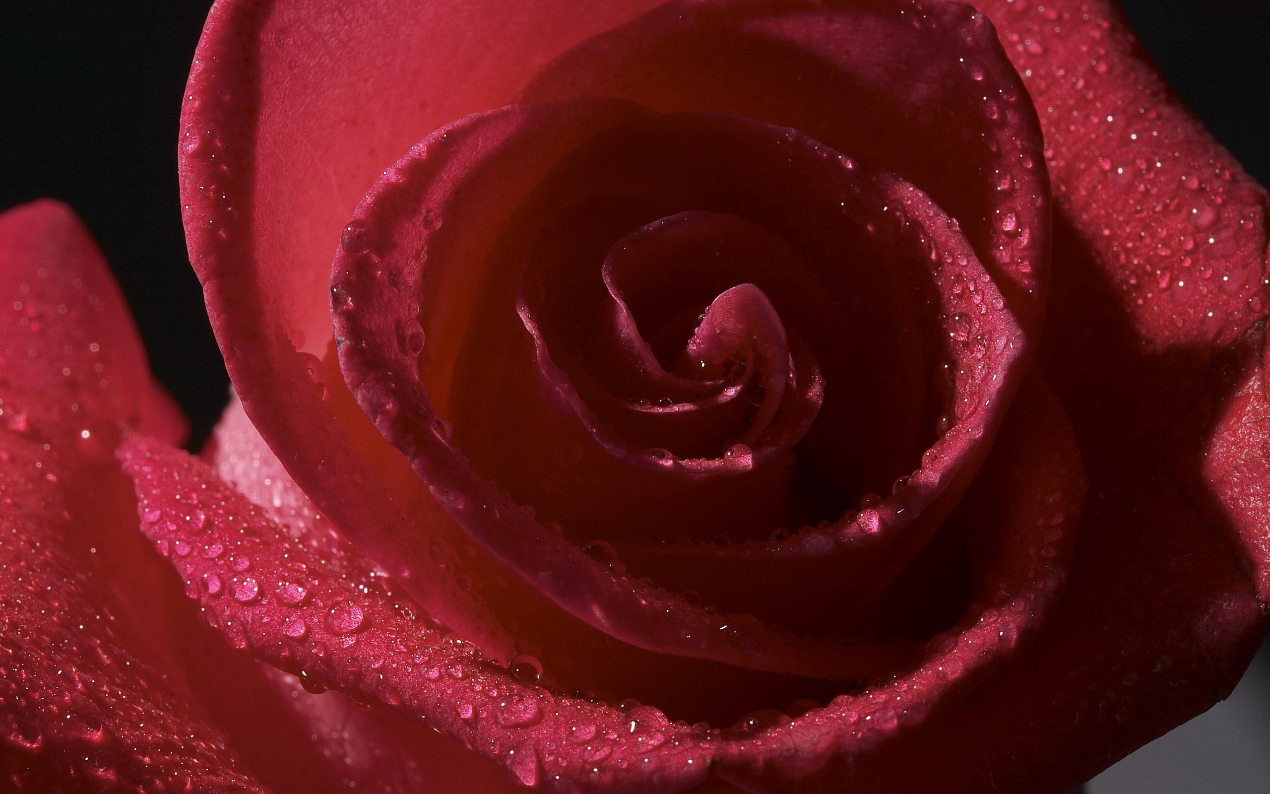Роса на лепестках розы  № 2451486  скачать