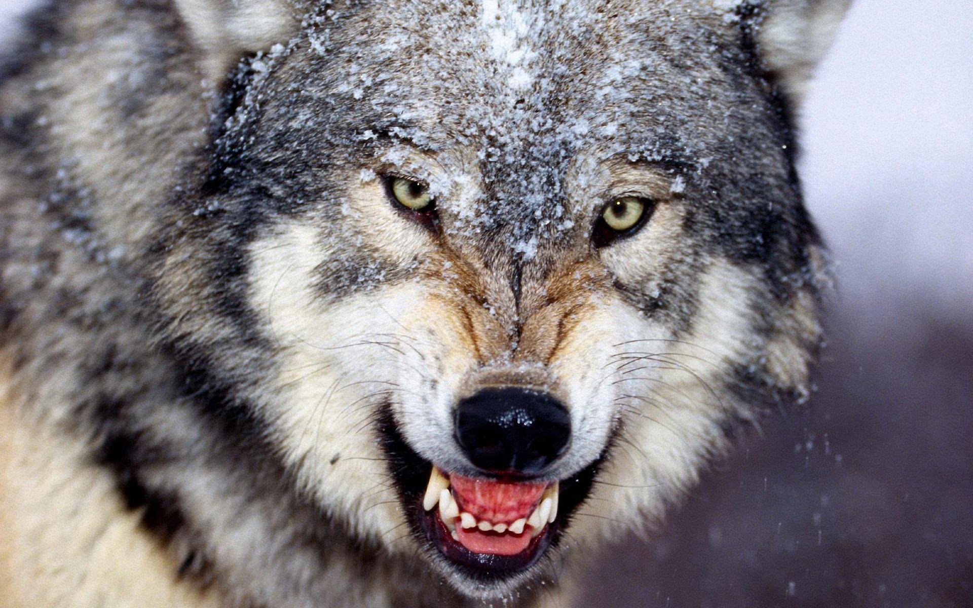 злой волк фото на телефон прямой чартерный