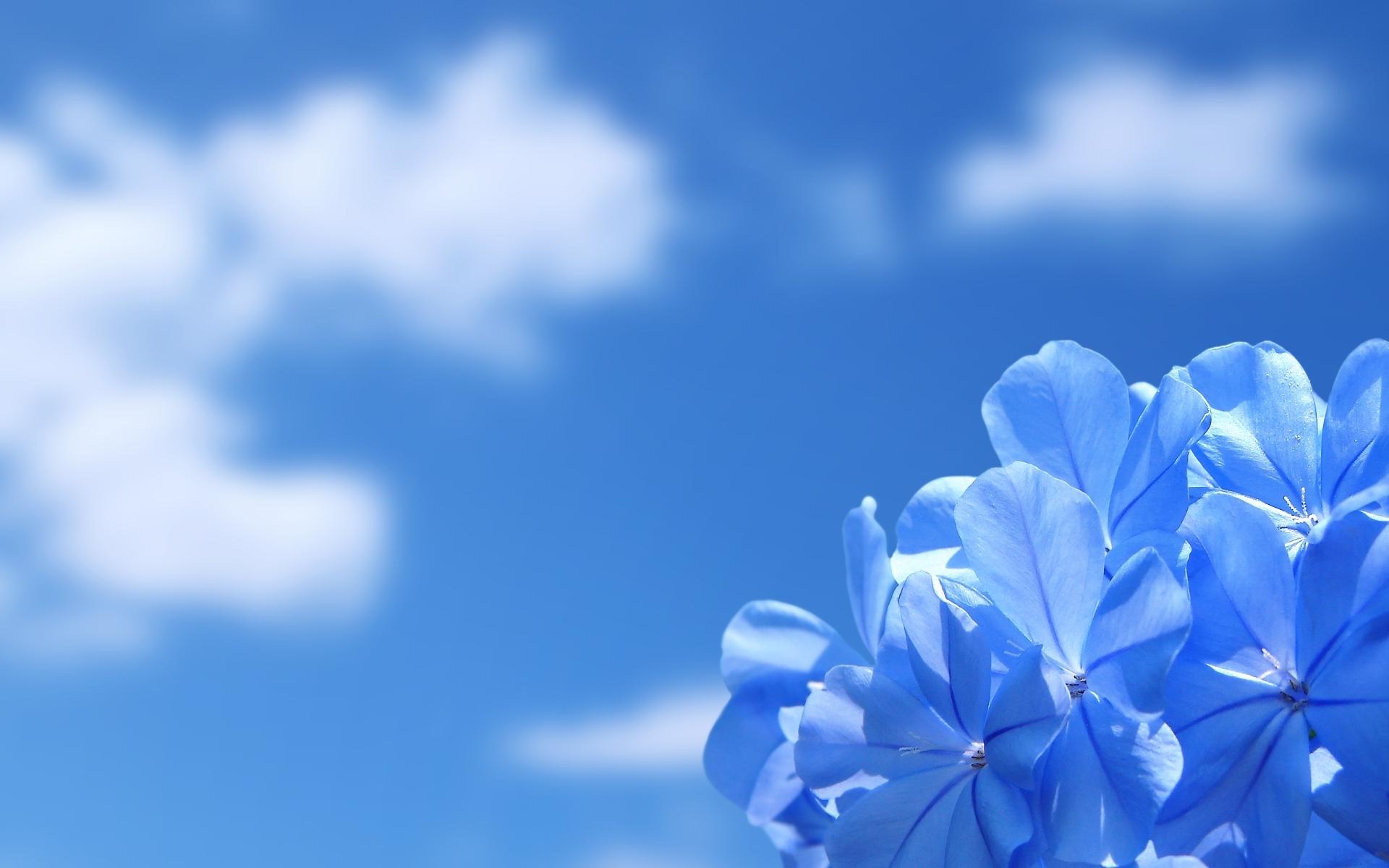 природа цветы голубые  № 1334374 загрузить
