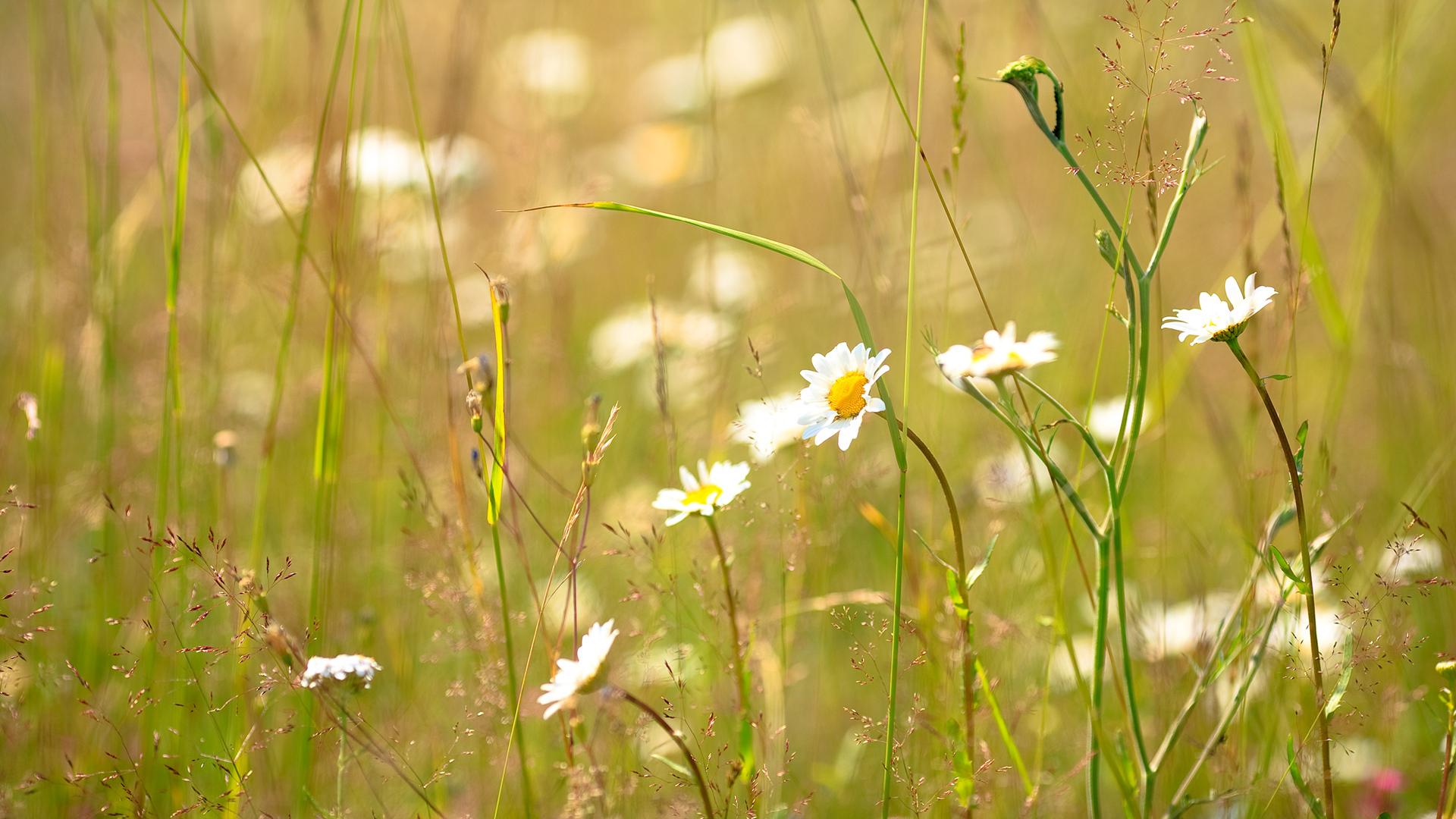 красные цветы трава ромашки природа  № 3836392 загрузить