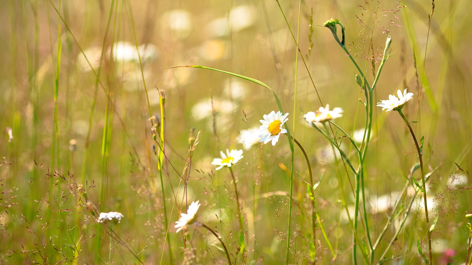 ромашки цветы трава природа подборки