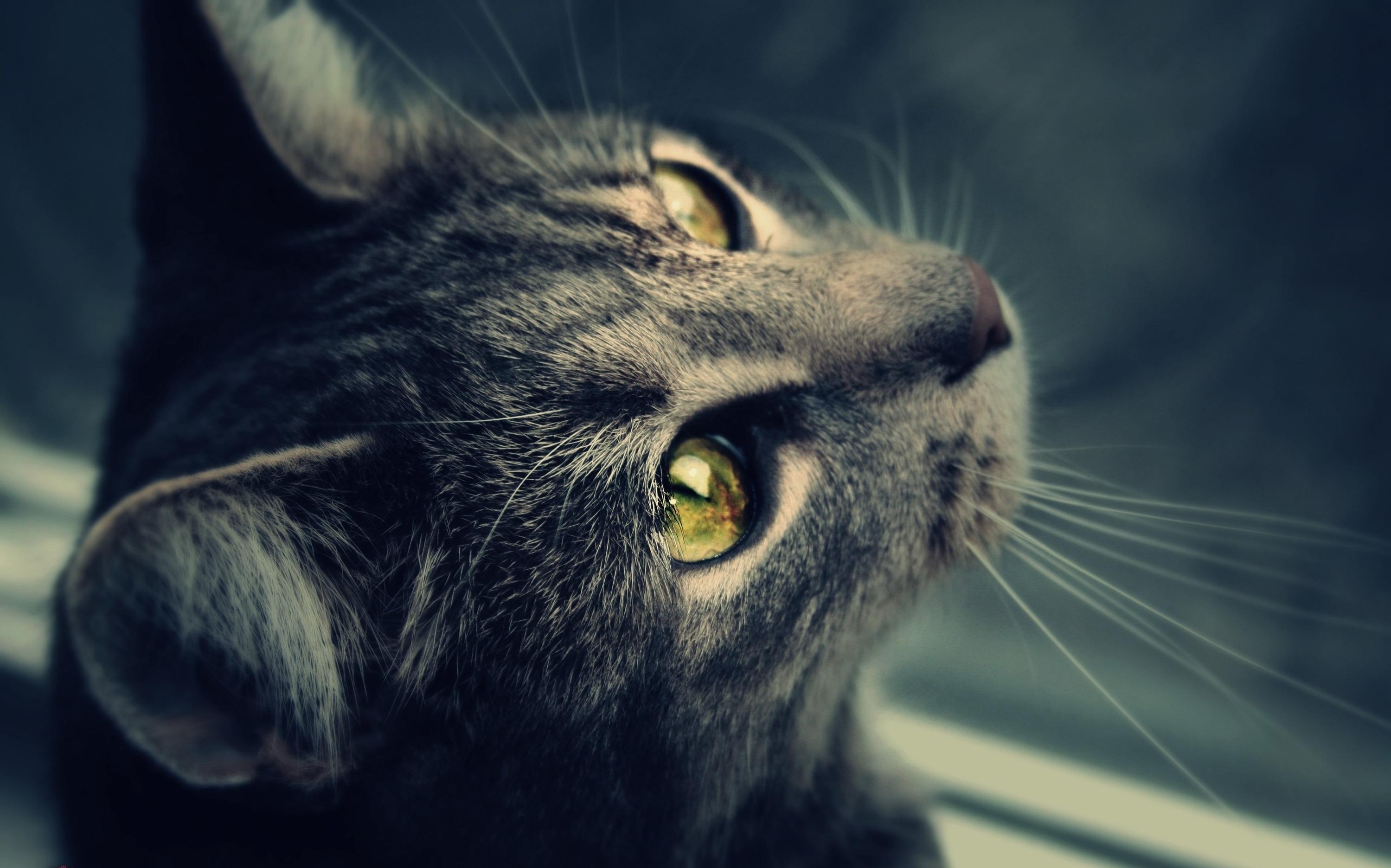 Кот взгляд бесплатно