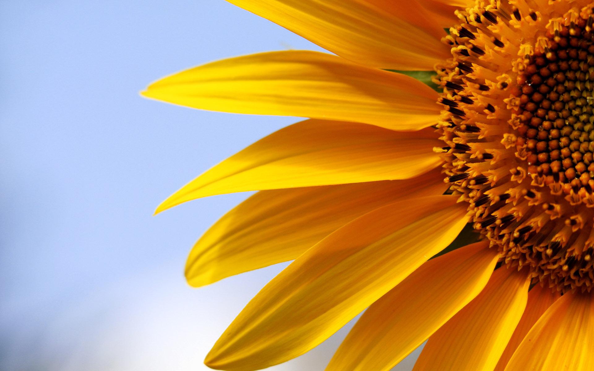 природа цветы подсолнечник  № 2671788 загрузить