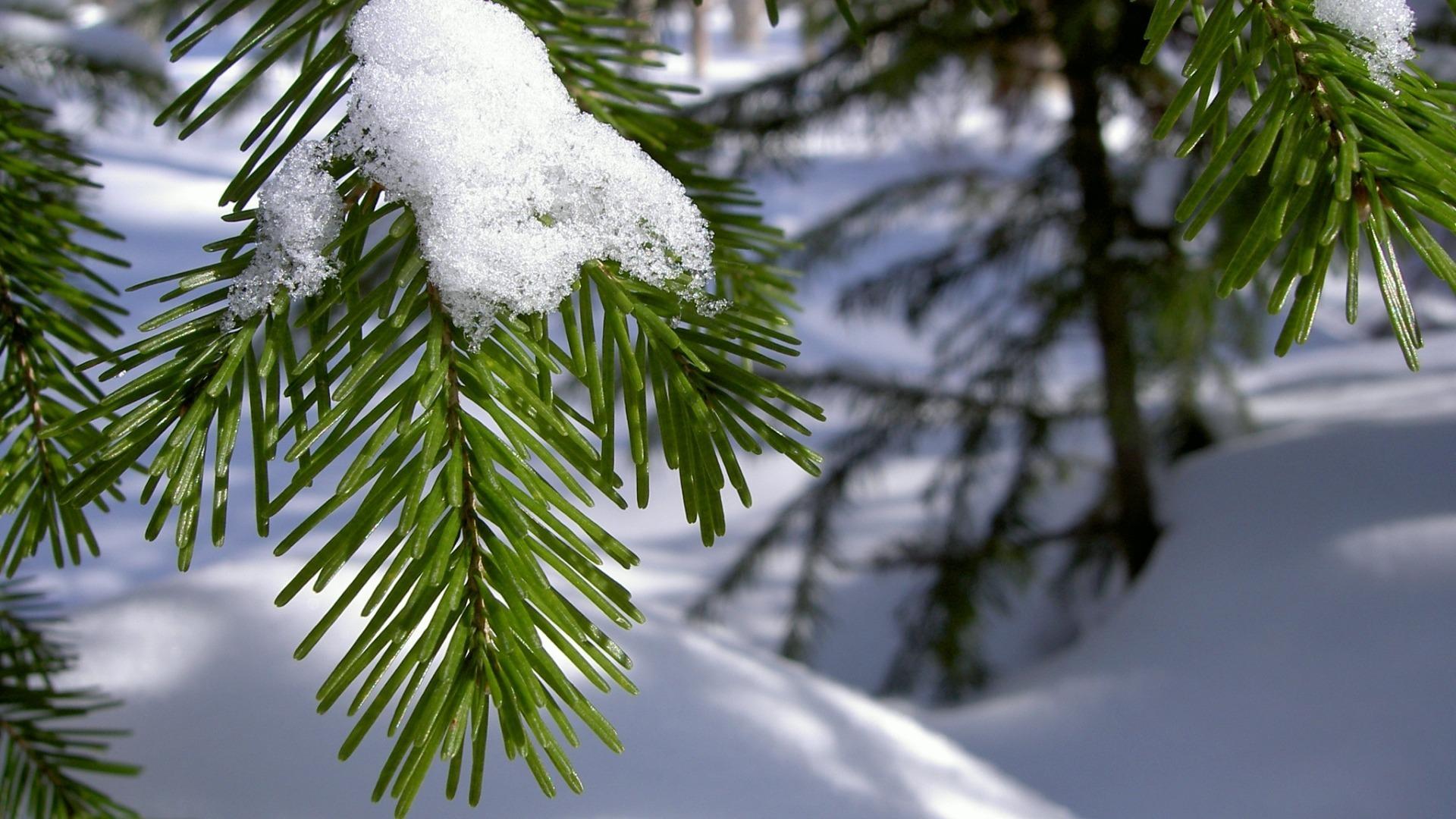 снег ели зима  № 3180908 бесплатно
