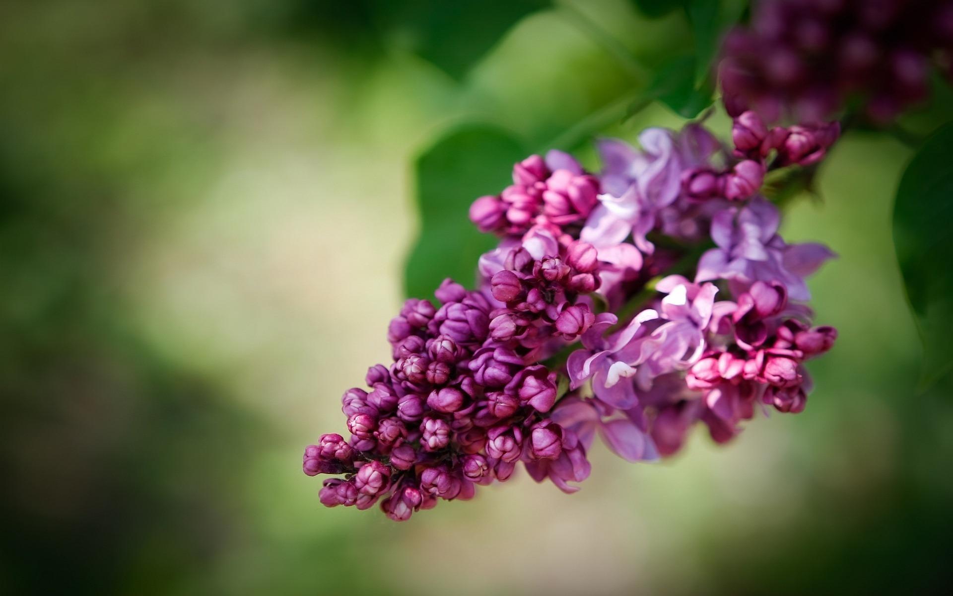 цветы природа сирень  № 2224216 загрузить