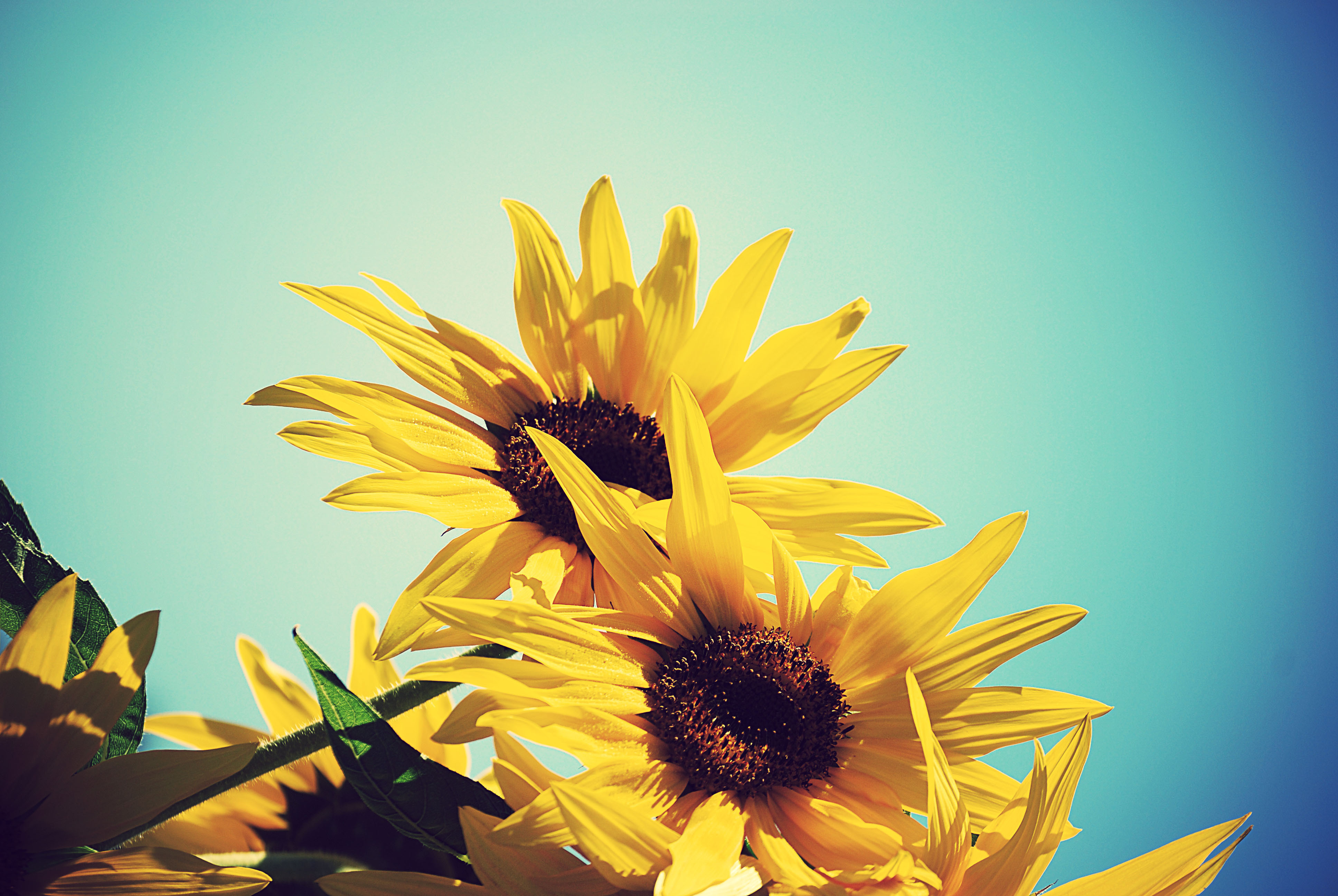 Подсолнечник sunflower цветок природа без смс