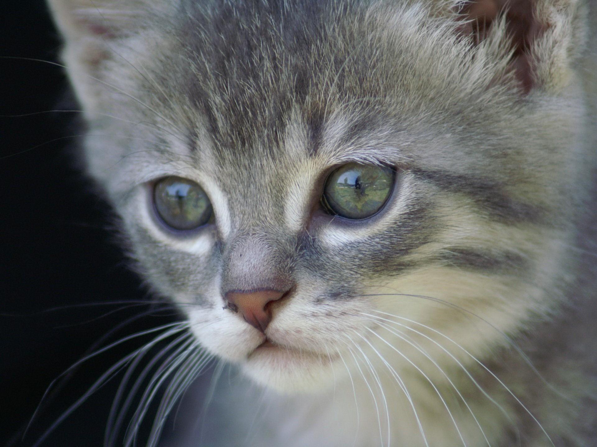 котенок дымчатый kitten smoky  № 2344422 загрузить