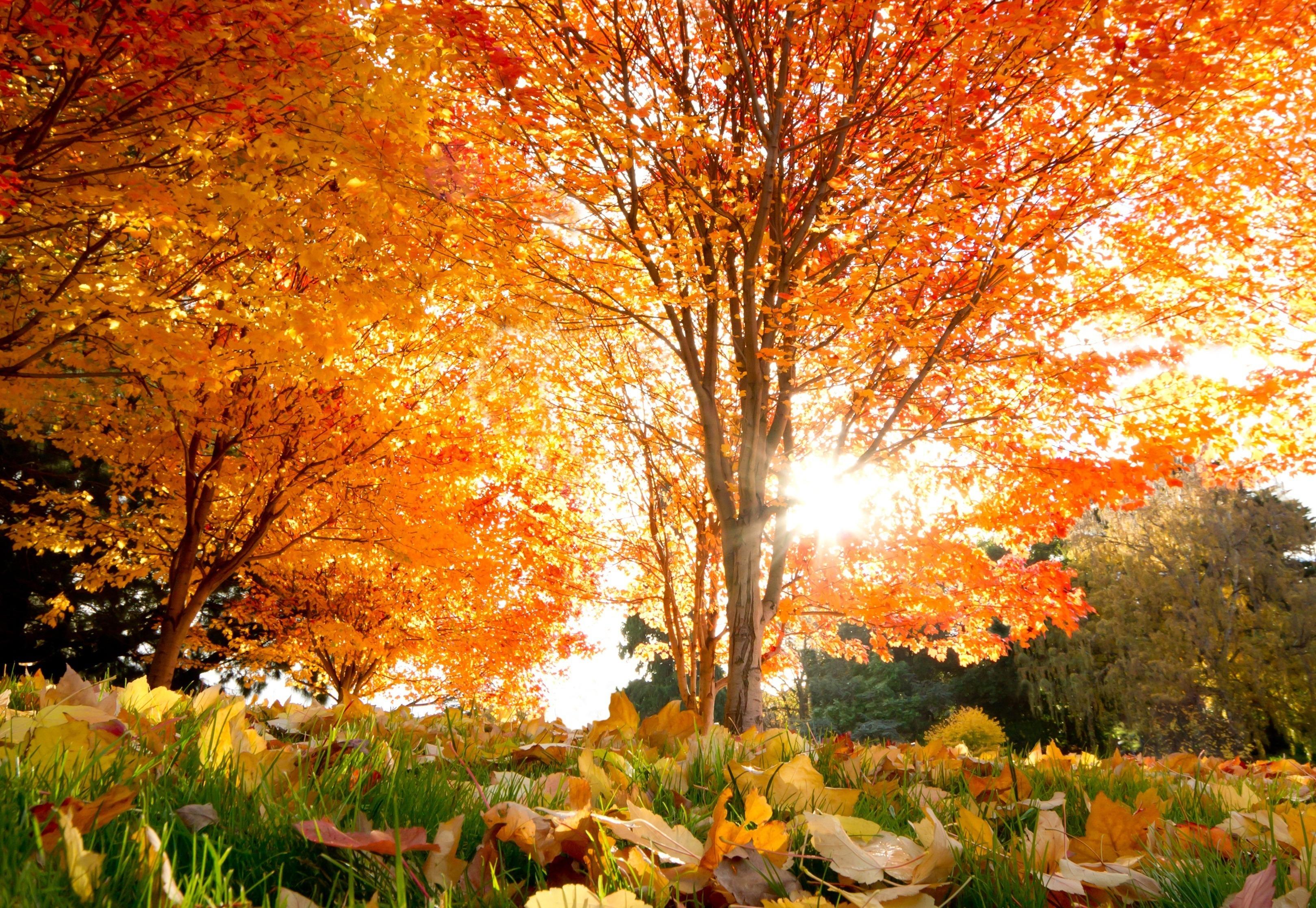 деревья листва осень солнце  № 3191823 бесплатно