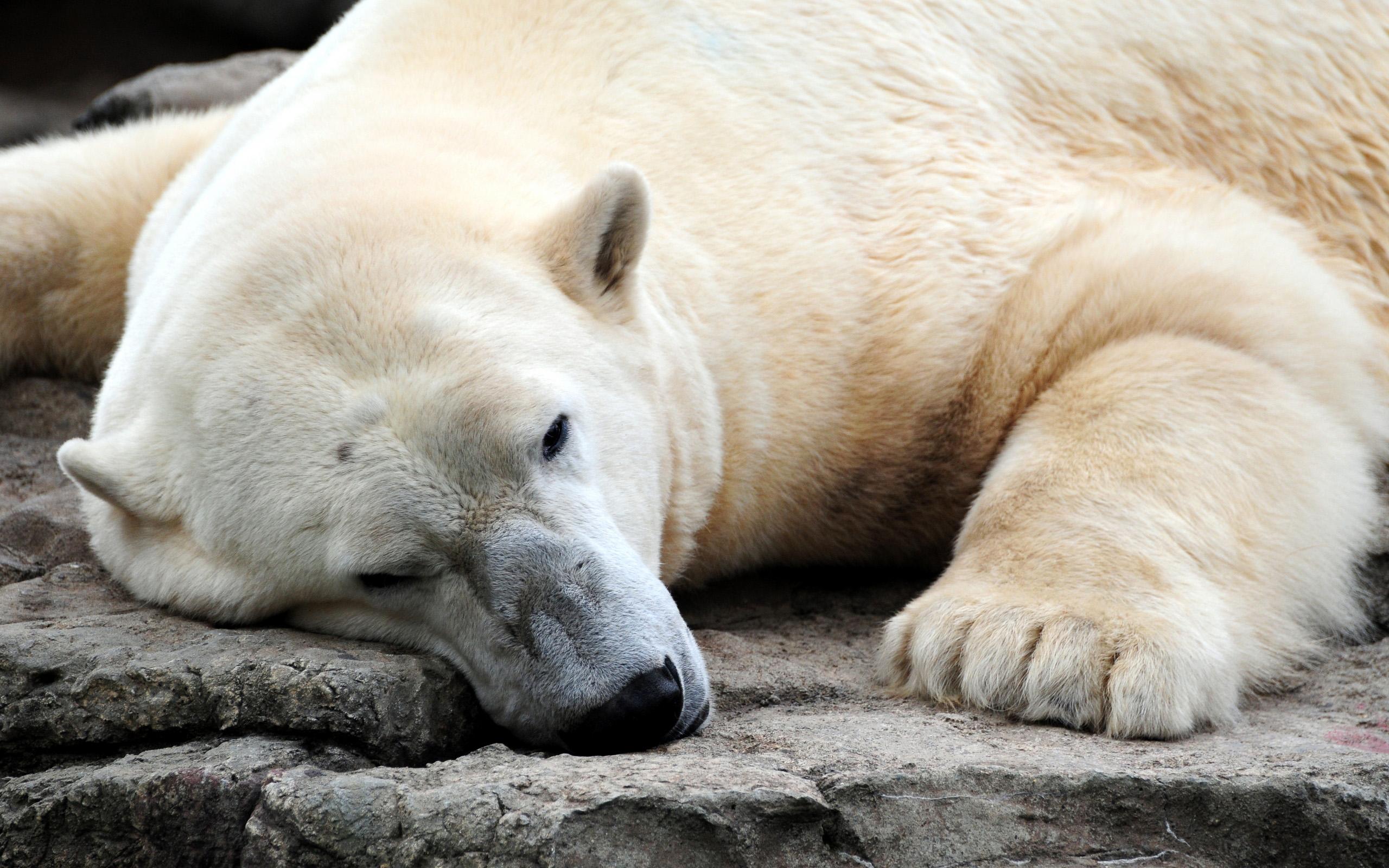 зевок белого медведя скачать