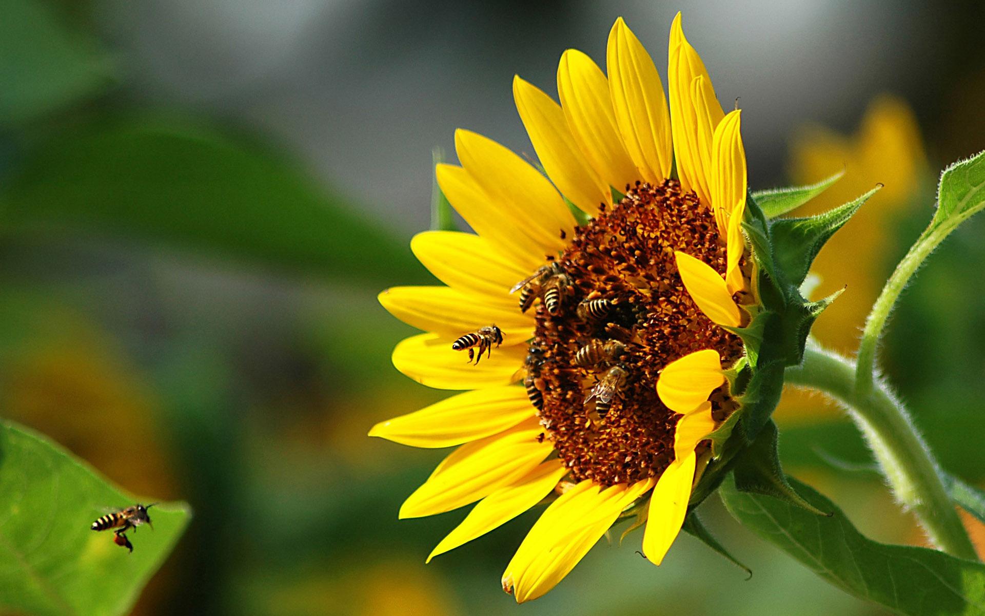 Пчела на подсолнухе без смс