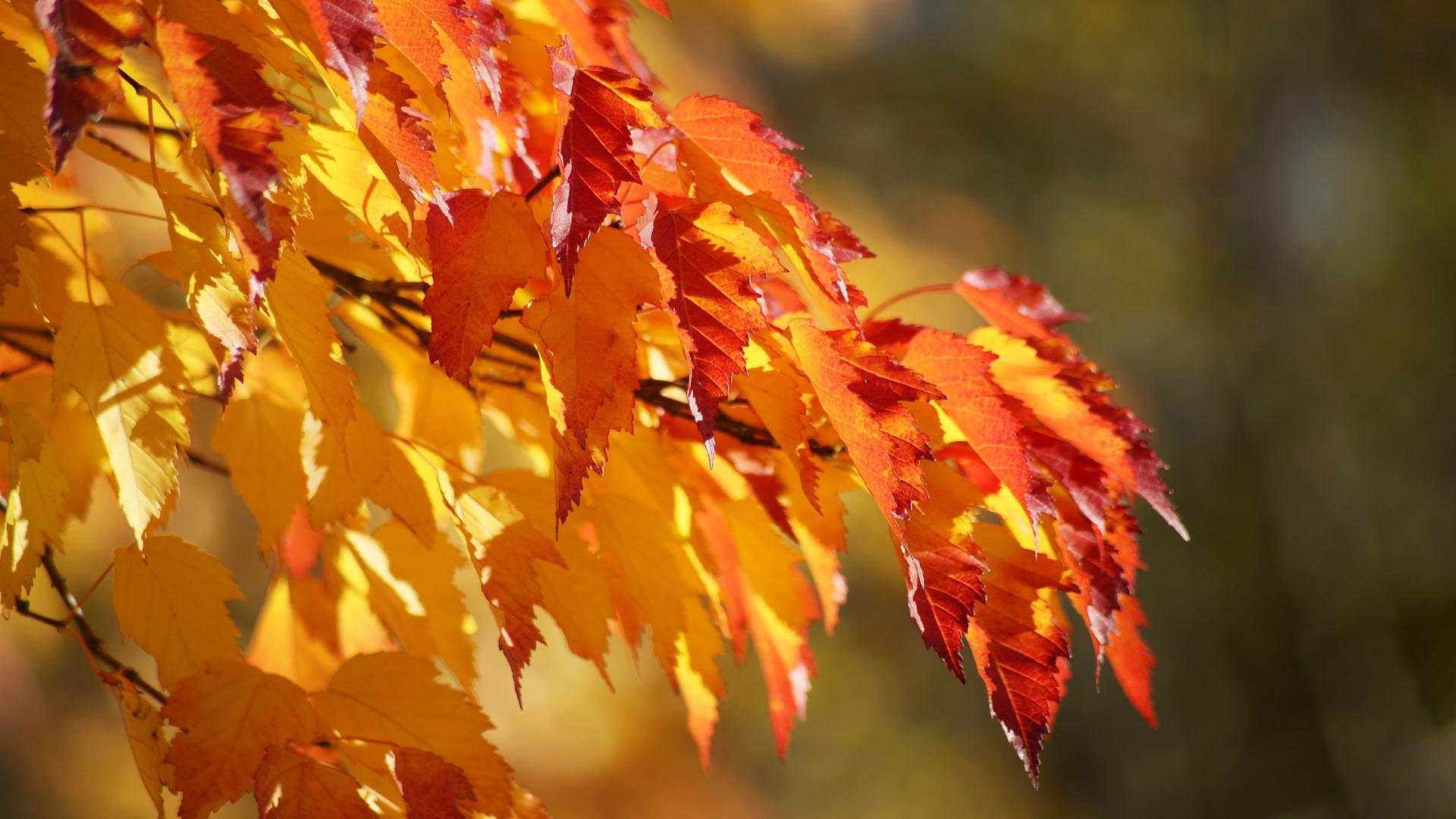 Ветка листья осенние бесплатно