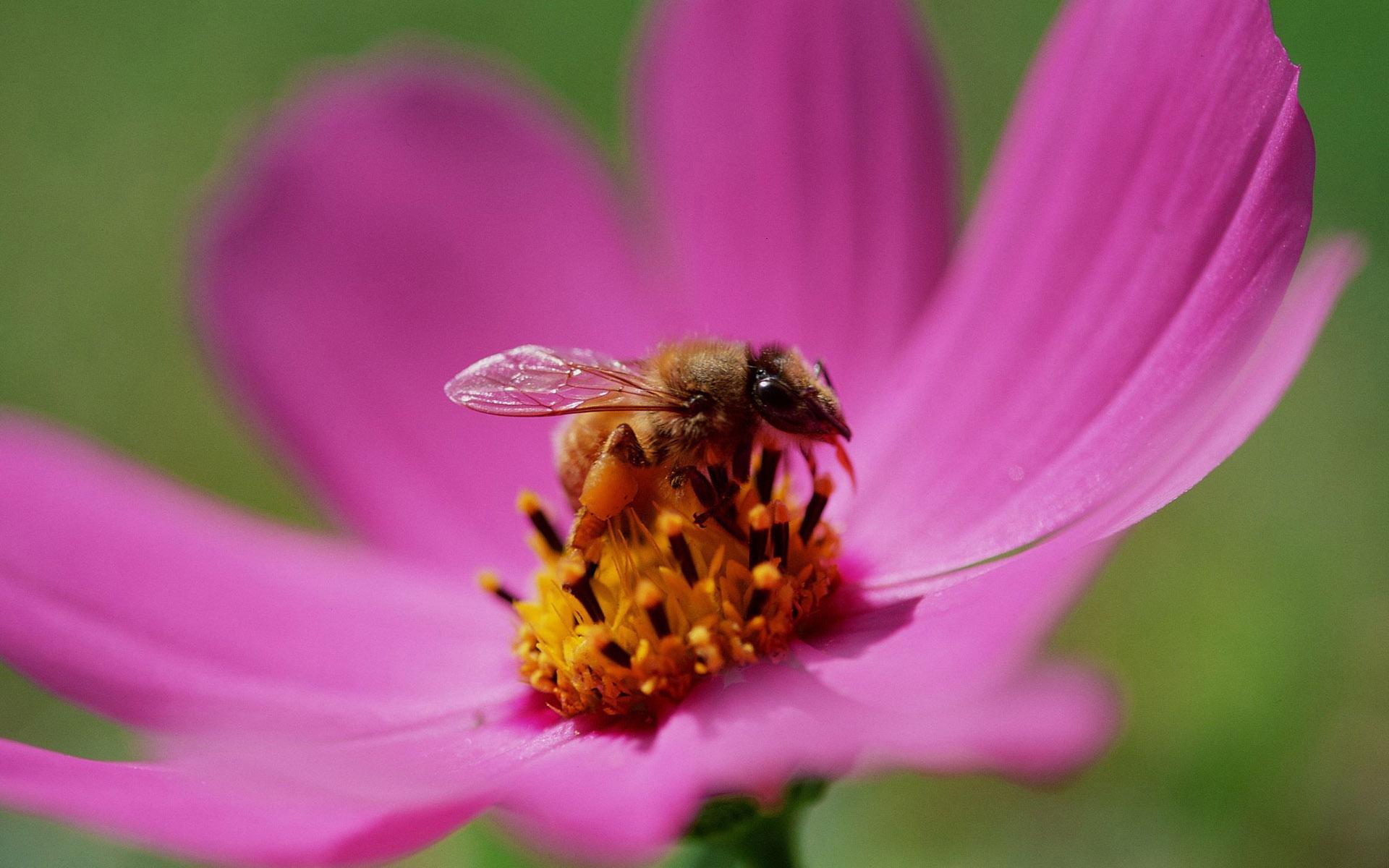 пчела цветы розовые flowers pink bee  № 910751 загрузить