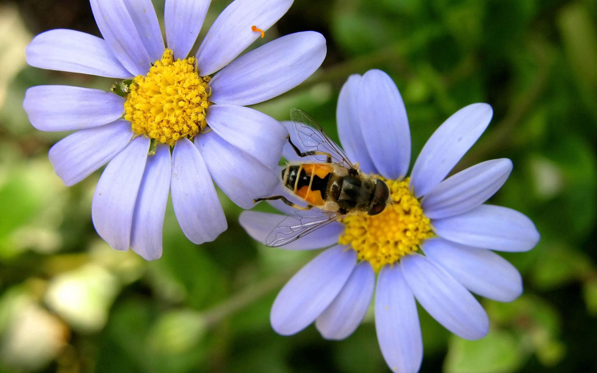 природа цветы насекомое пчела бесплатно
