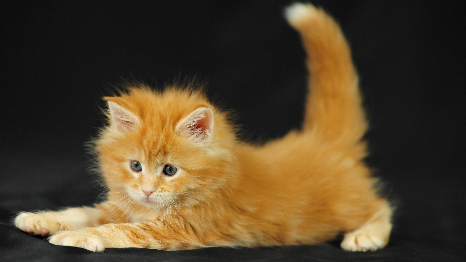 рыженький котик онлайн
