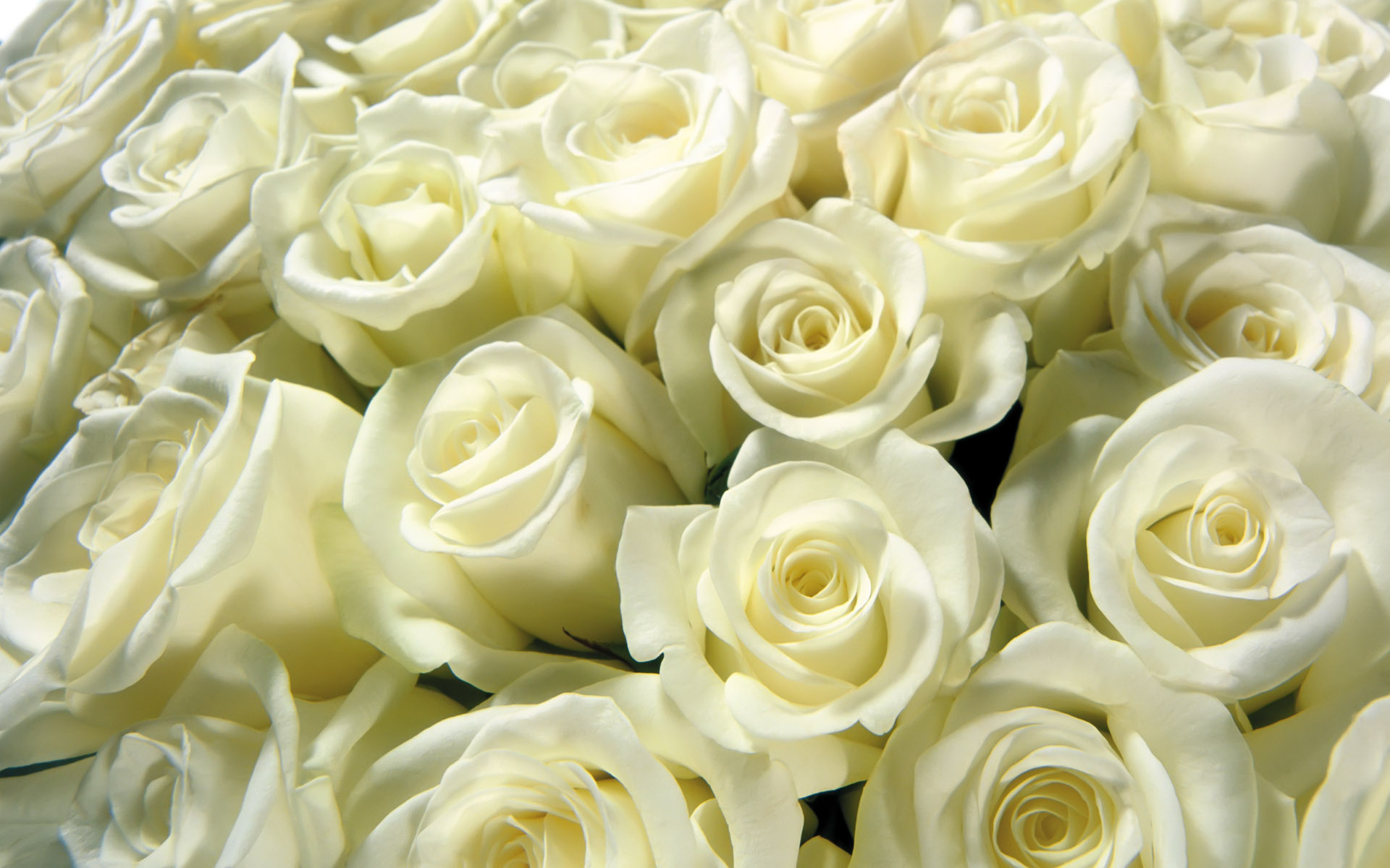 ухаживать драценой открытка шикарный букет белых роз дождливые