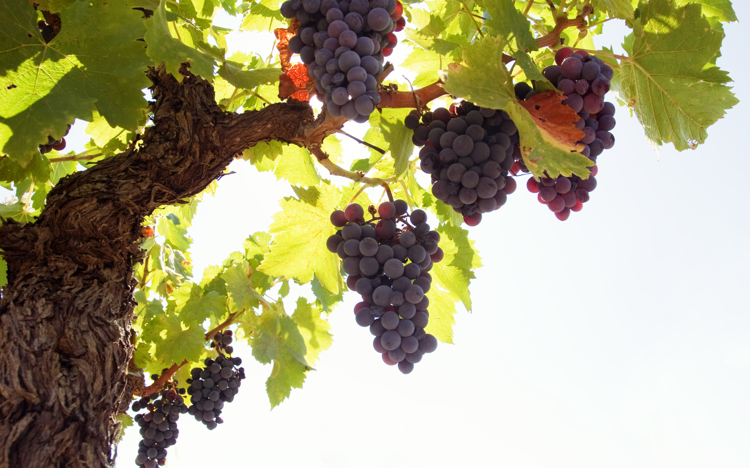 виноград гроздь ветка скачать