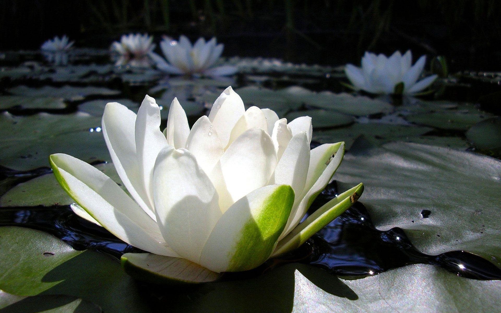 картинки белых лилий на воде это мечта каждого