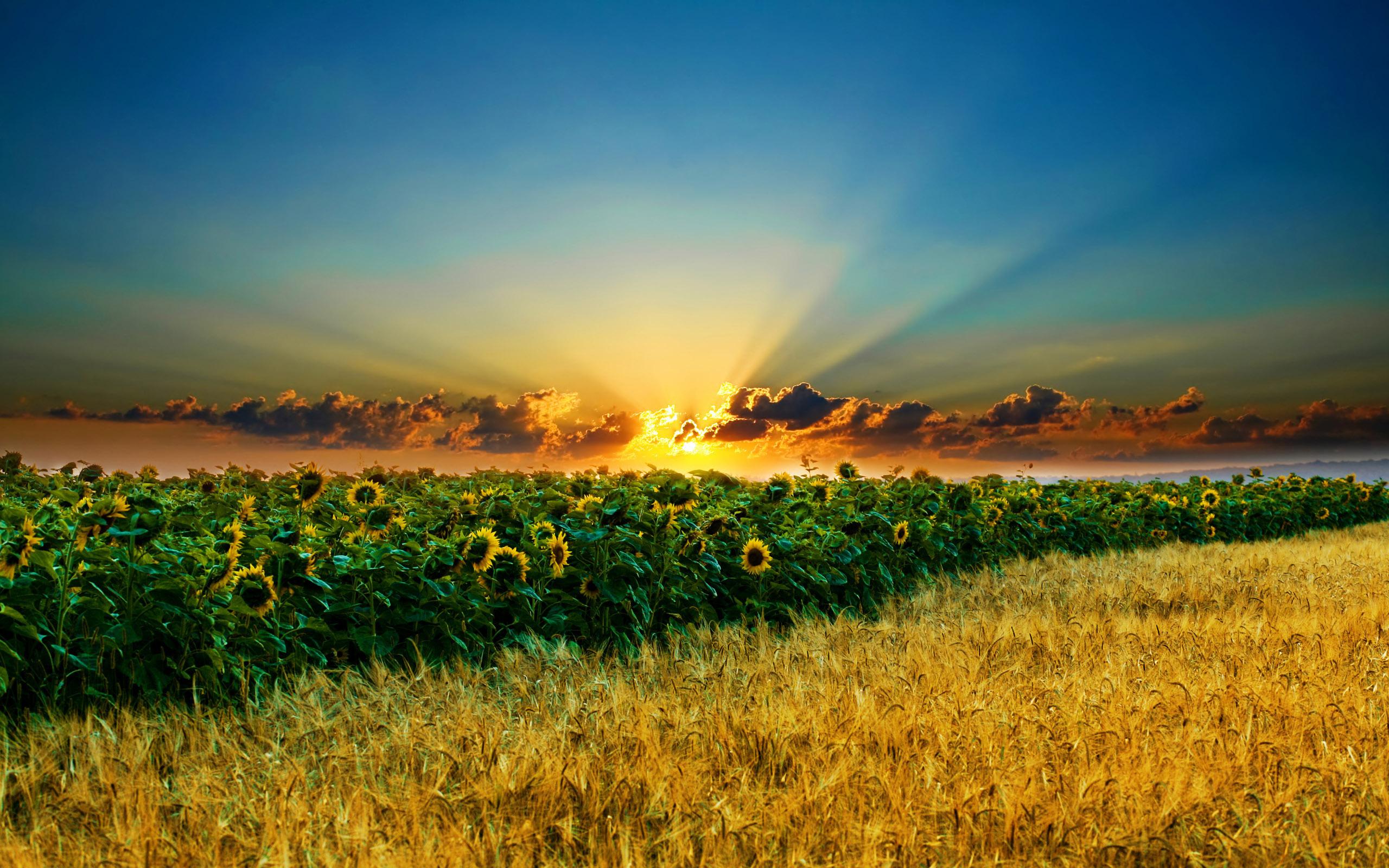 подсолнухи поле sunflowers field  № 419180 бесплатно
