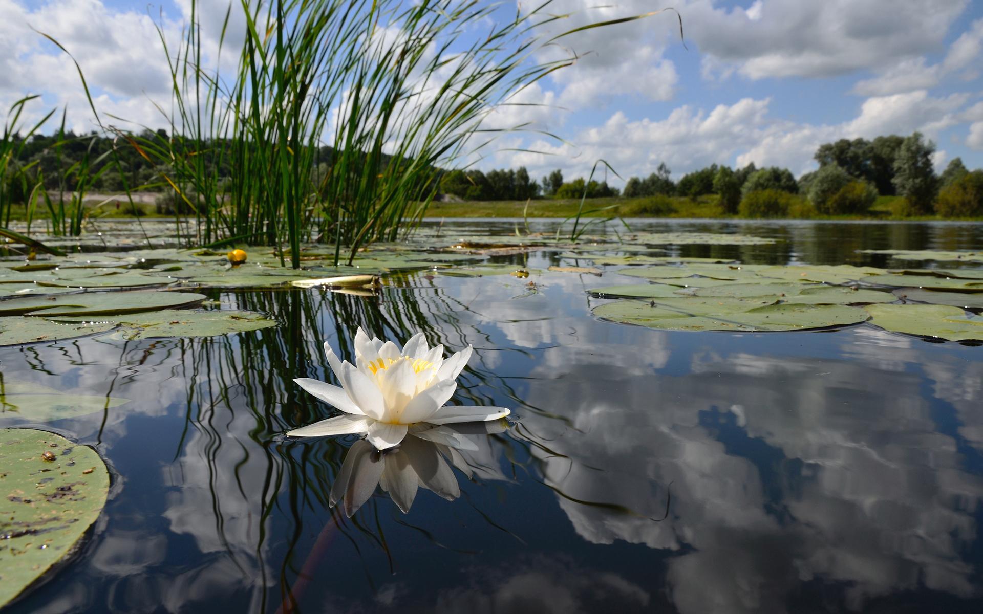 озеро с камышами и кувшинками картинки гулягин попросили