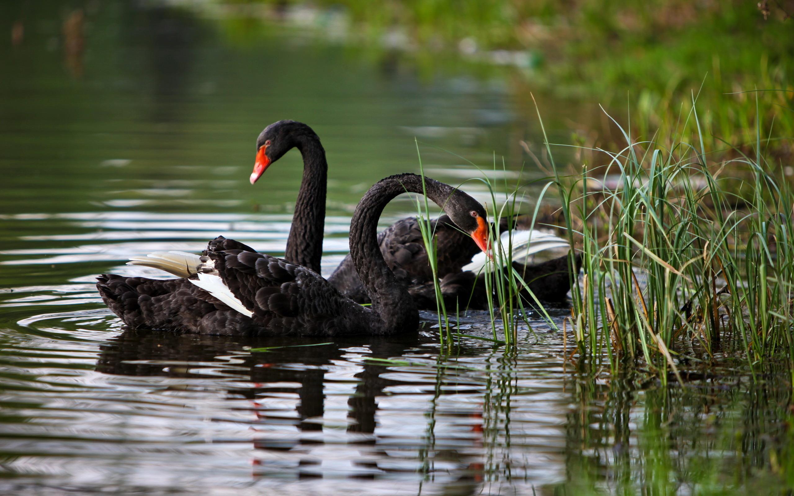 Лебеди загрузить