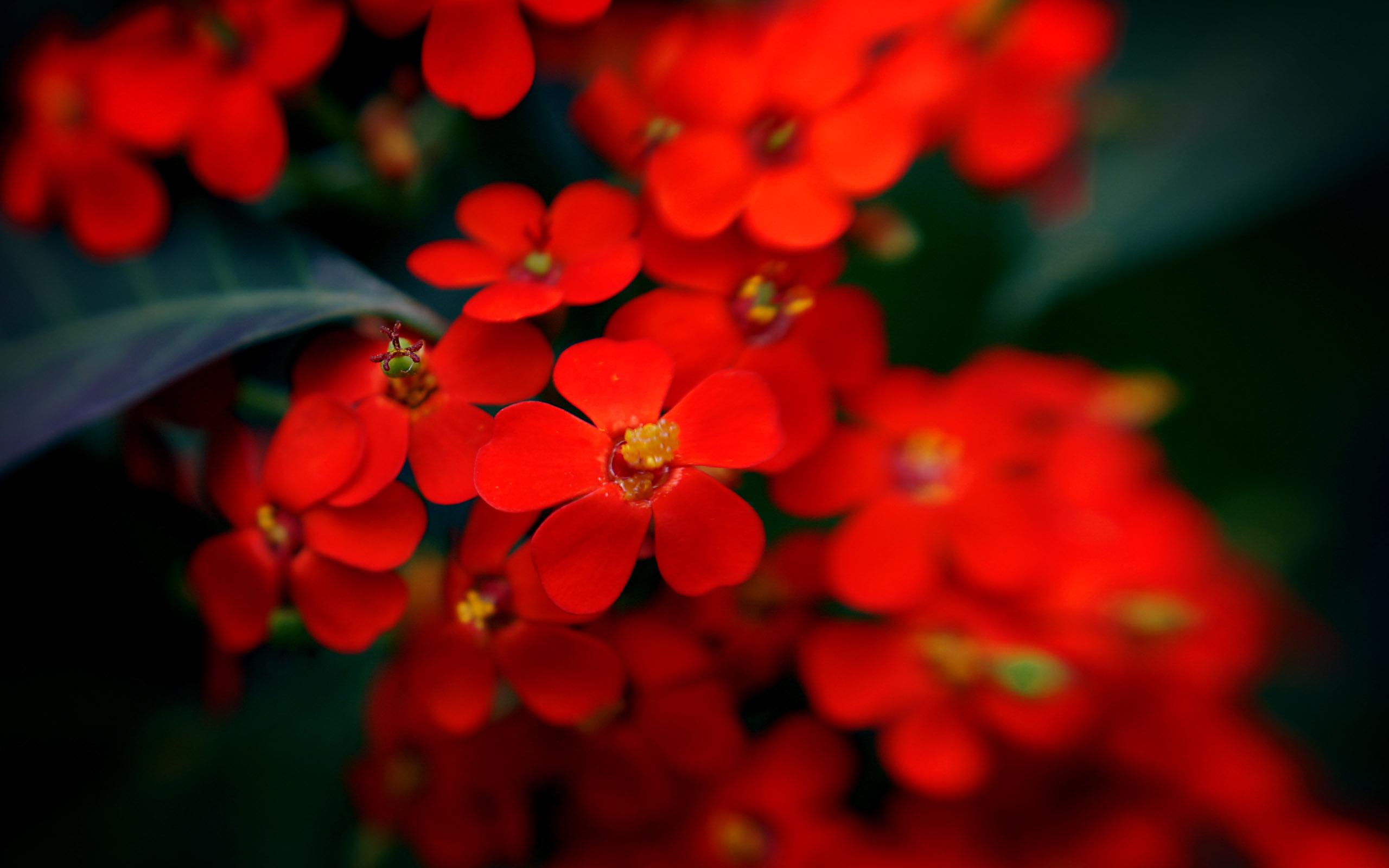 Красные мелкие цветы
