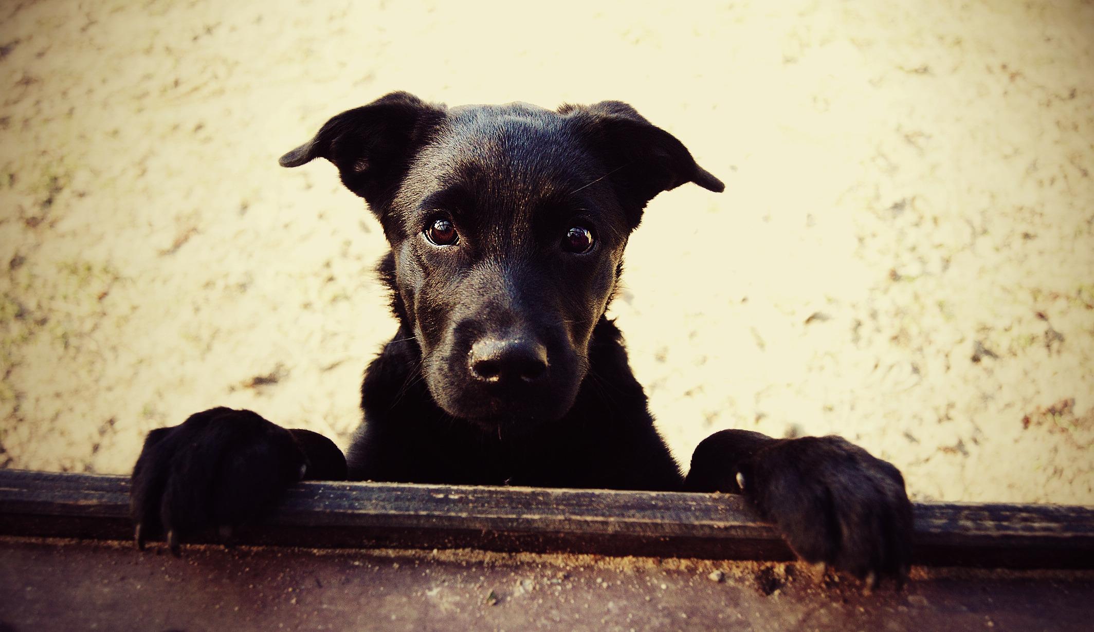 Пёс черный взгляд  № 1127430 без смс