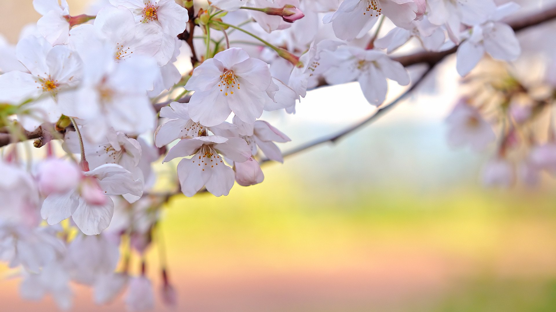 природа цветы белые ветка без регистрации