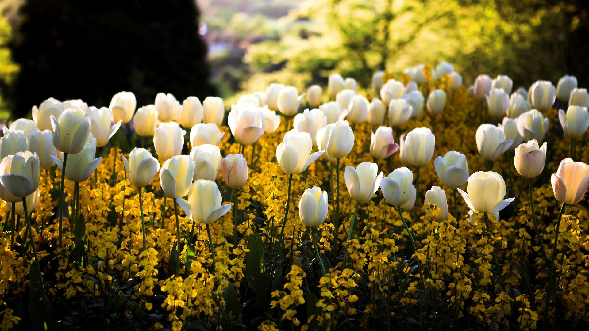 тюльпаны свет цветы  № 736274 без смс