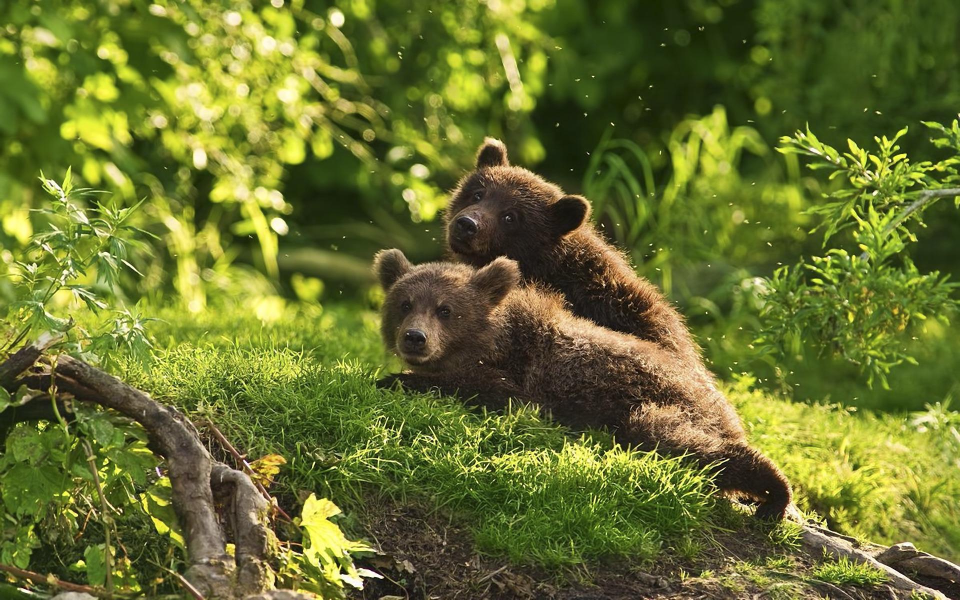 Медвежата у домика лесника загрузить