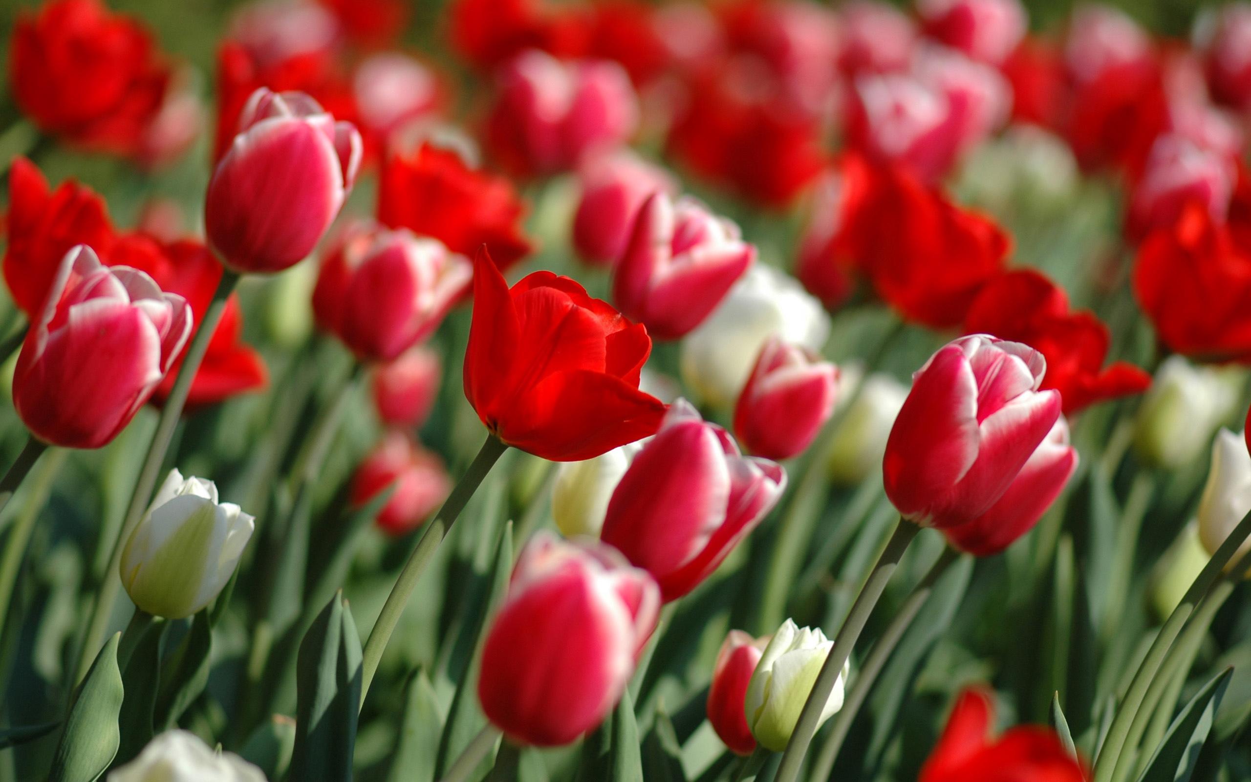 Цветы тюльпаны картинки красивые, открытки рождением