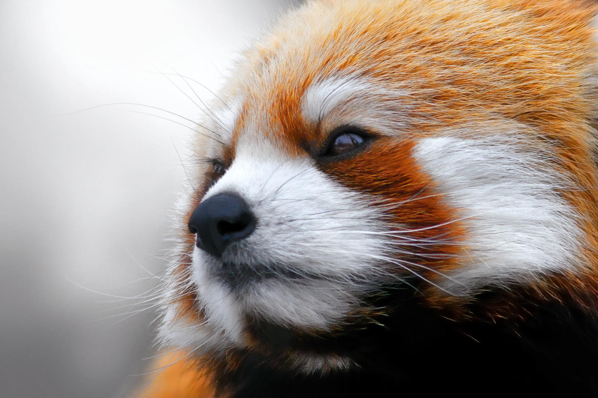 Red Panda  № 1564144 загрузить