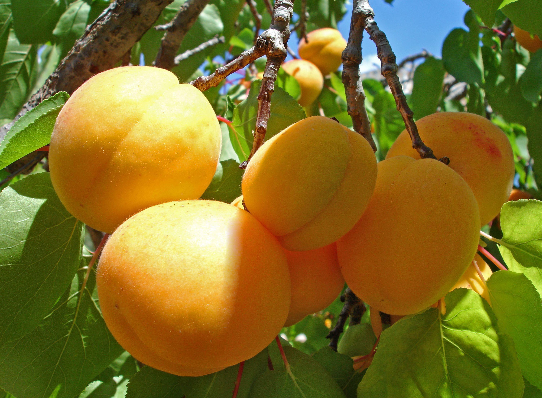 празднике картинка ветка абрикос является