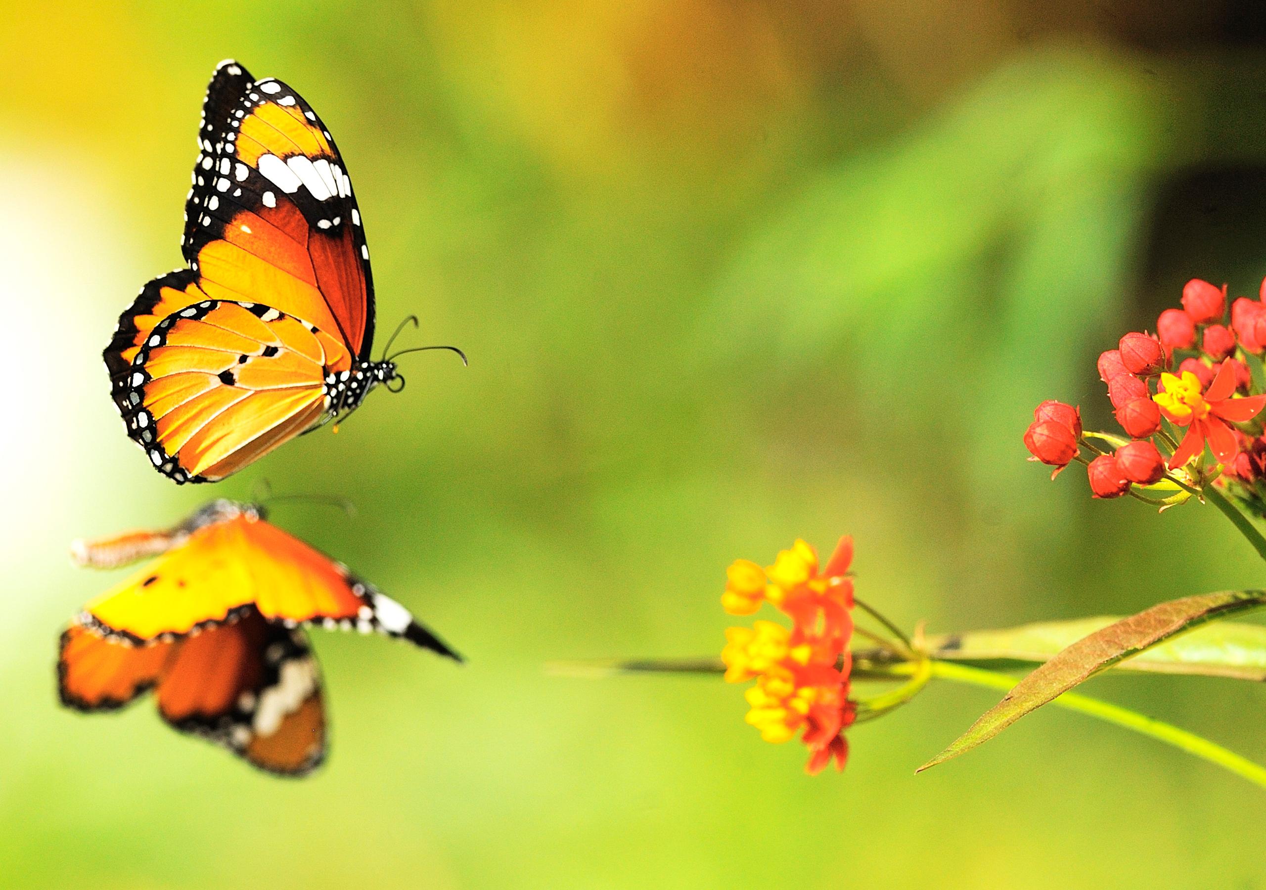 Бабочка на цветах без смс