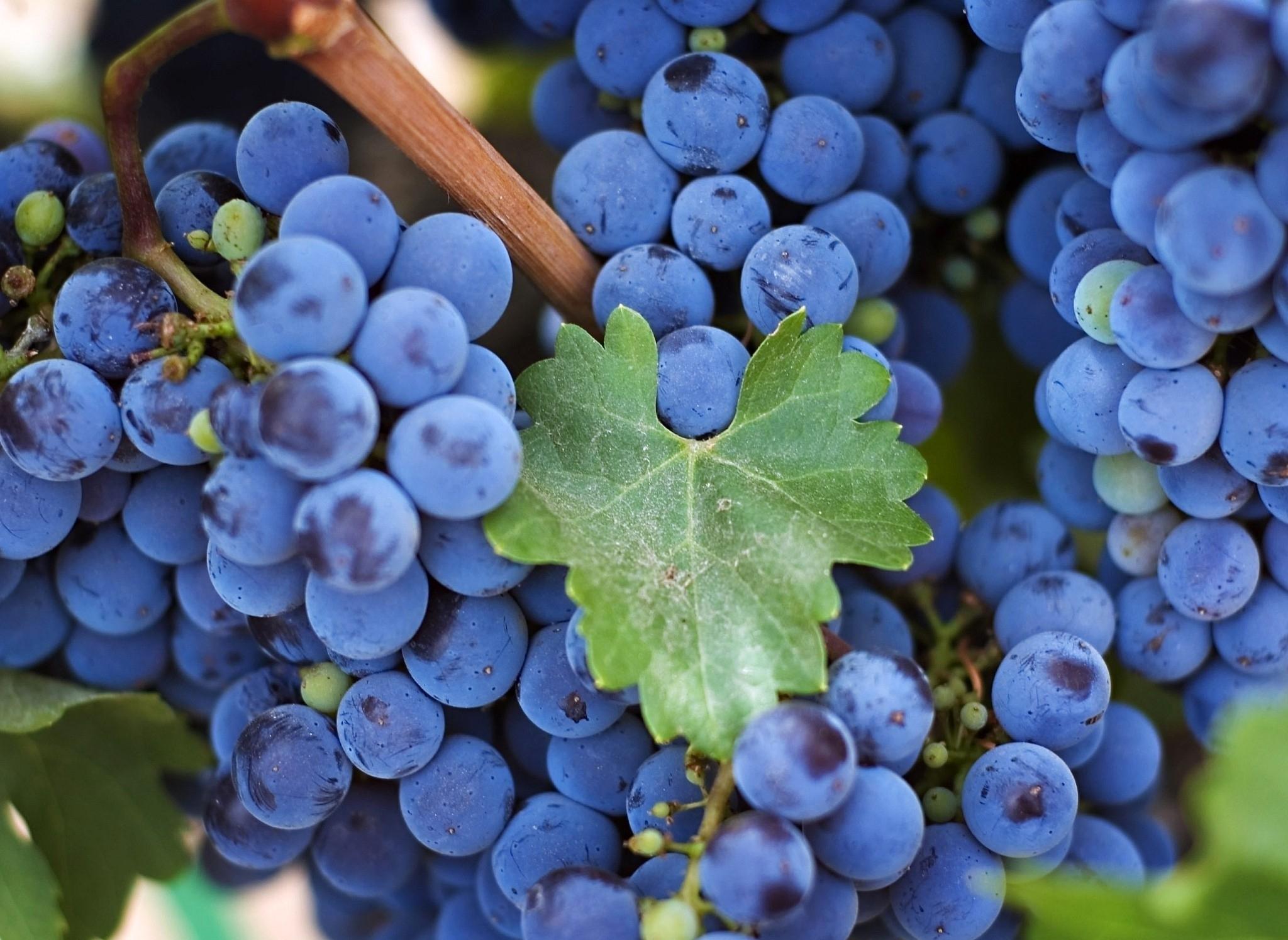 виноград картинки высокого разрешения