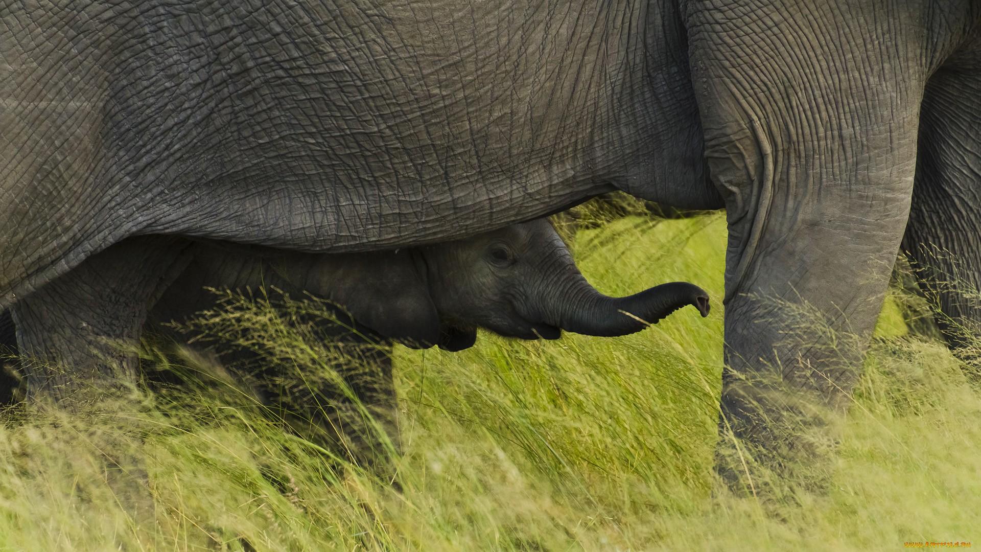 Слон и секс 22 фотография
