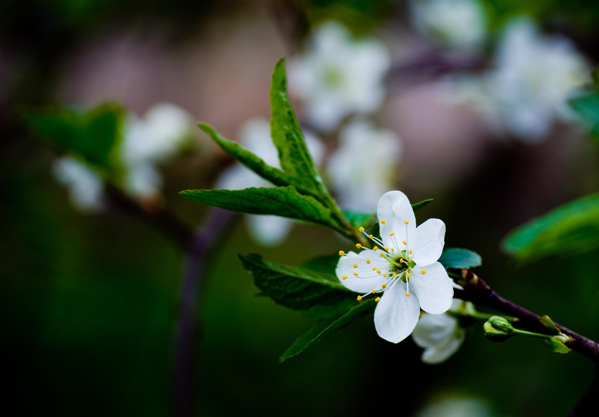 белый цветы природа ветка без смс