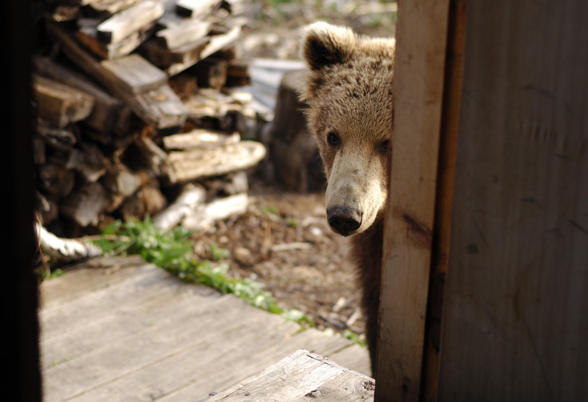 Медвежата у домика лесника скачать
