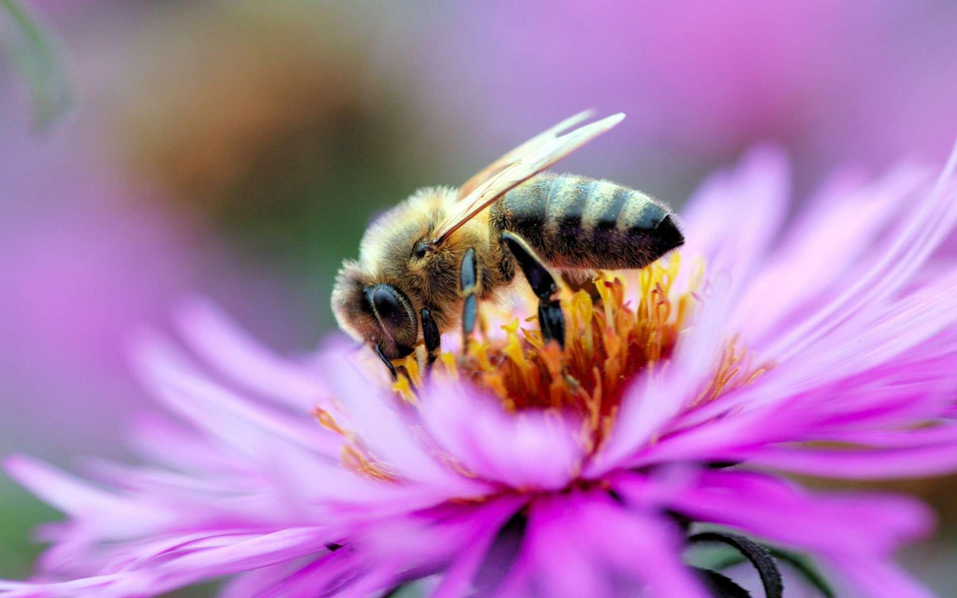 макро одуванчик животное насекомое пчела цветы природа  № 3007307 загрузить
