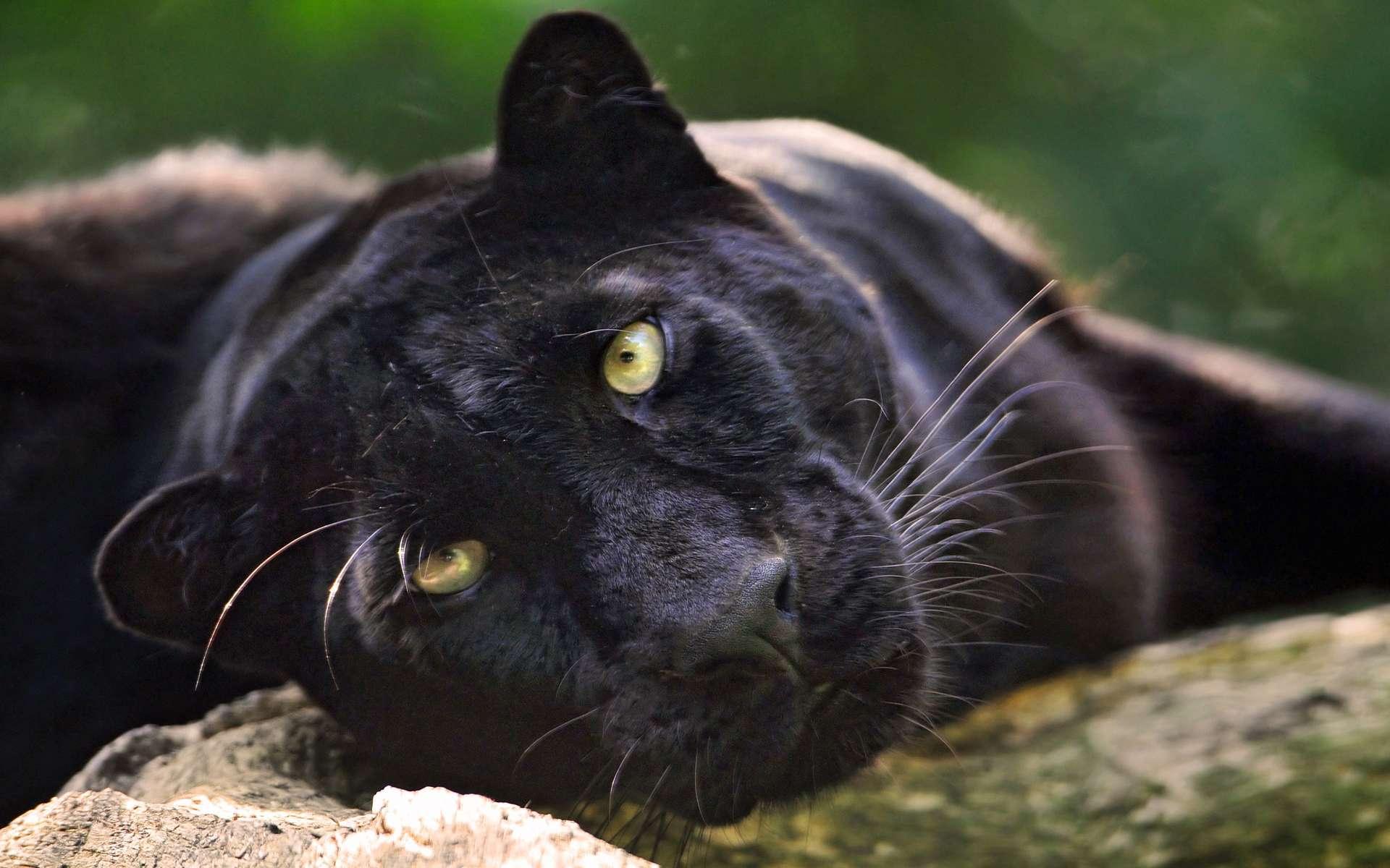 того, все фото черный ягуар лежит привел вячеслава