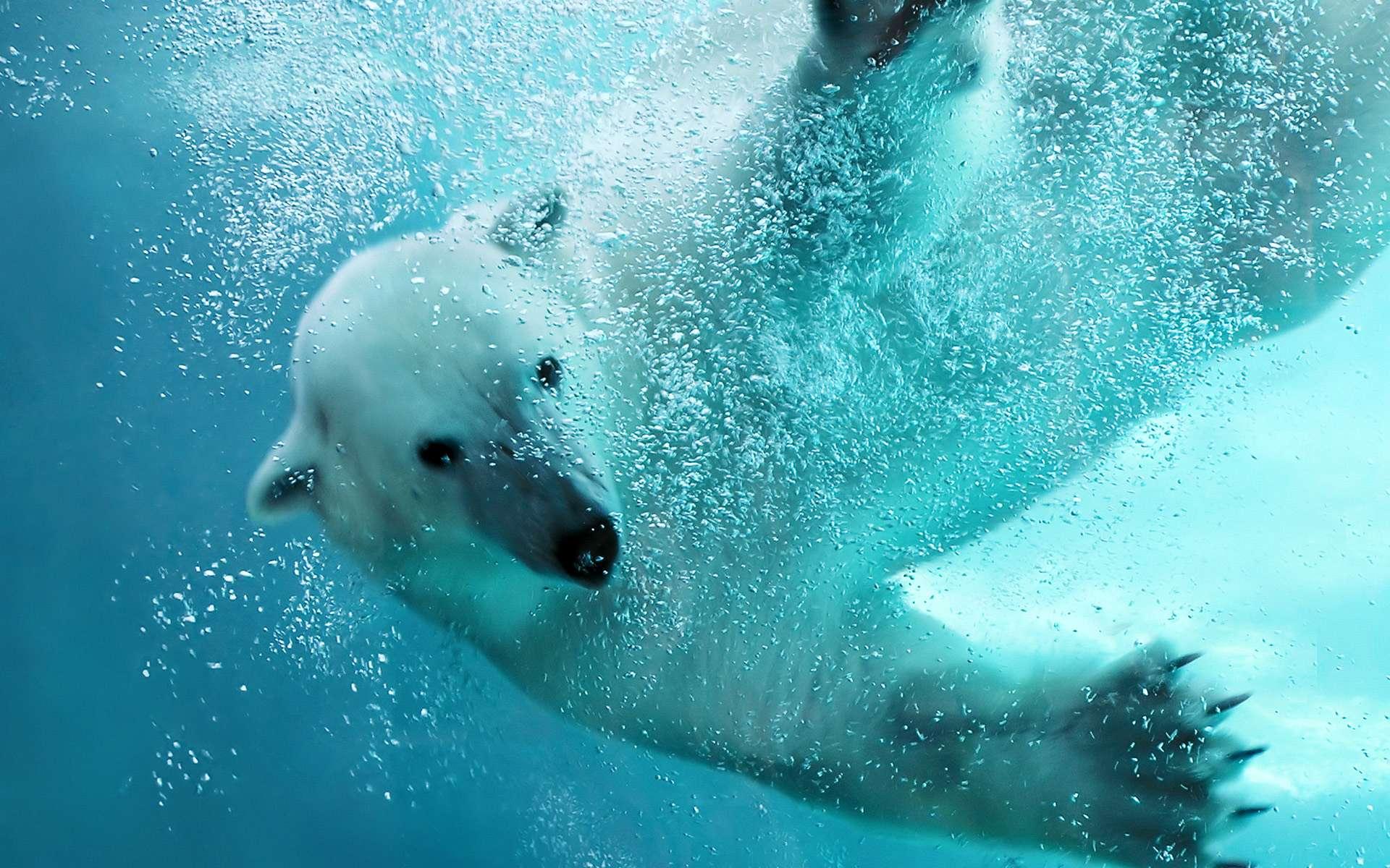 Обои на рабочий стол медведь в воде