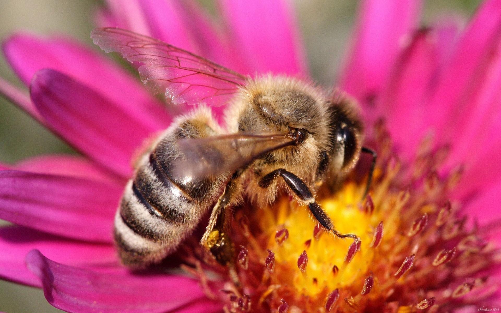 макро одуванчик животное насекомое пчела цветы природа  № 3007303 загрузить
