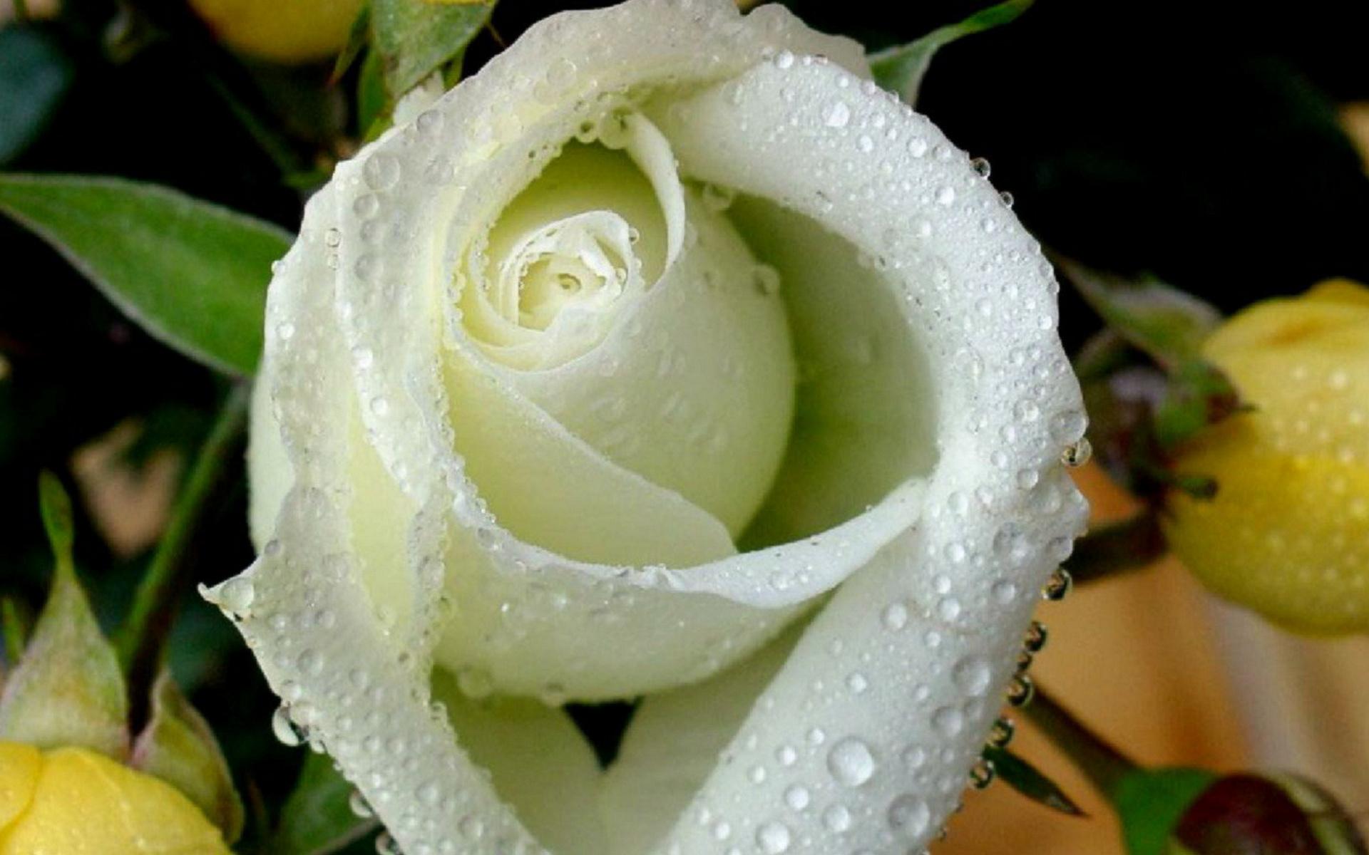 среднем полуострове открытки розы белые в капельках такая